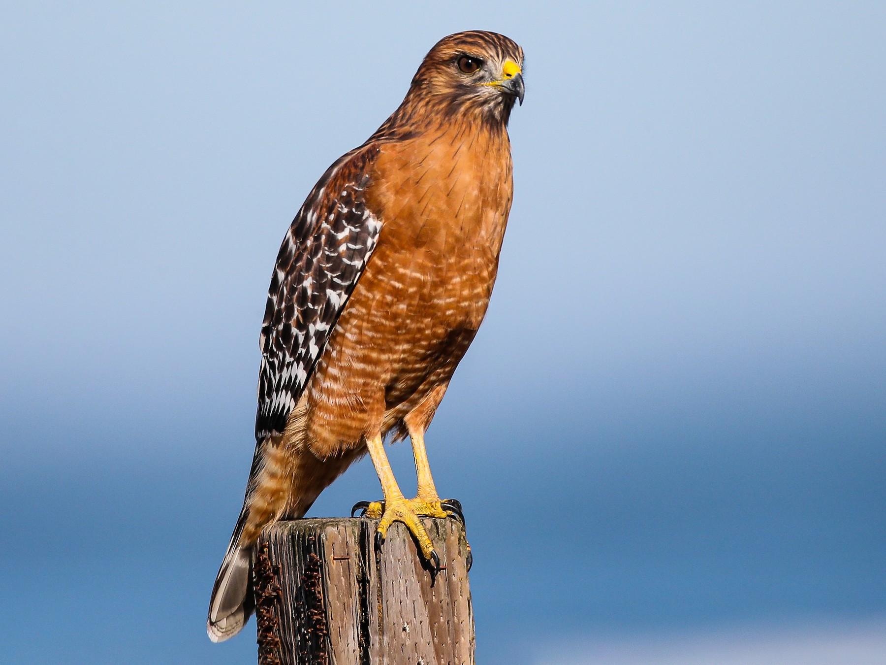 Red-shouldered Hawk - Blake Matheson