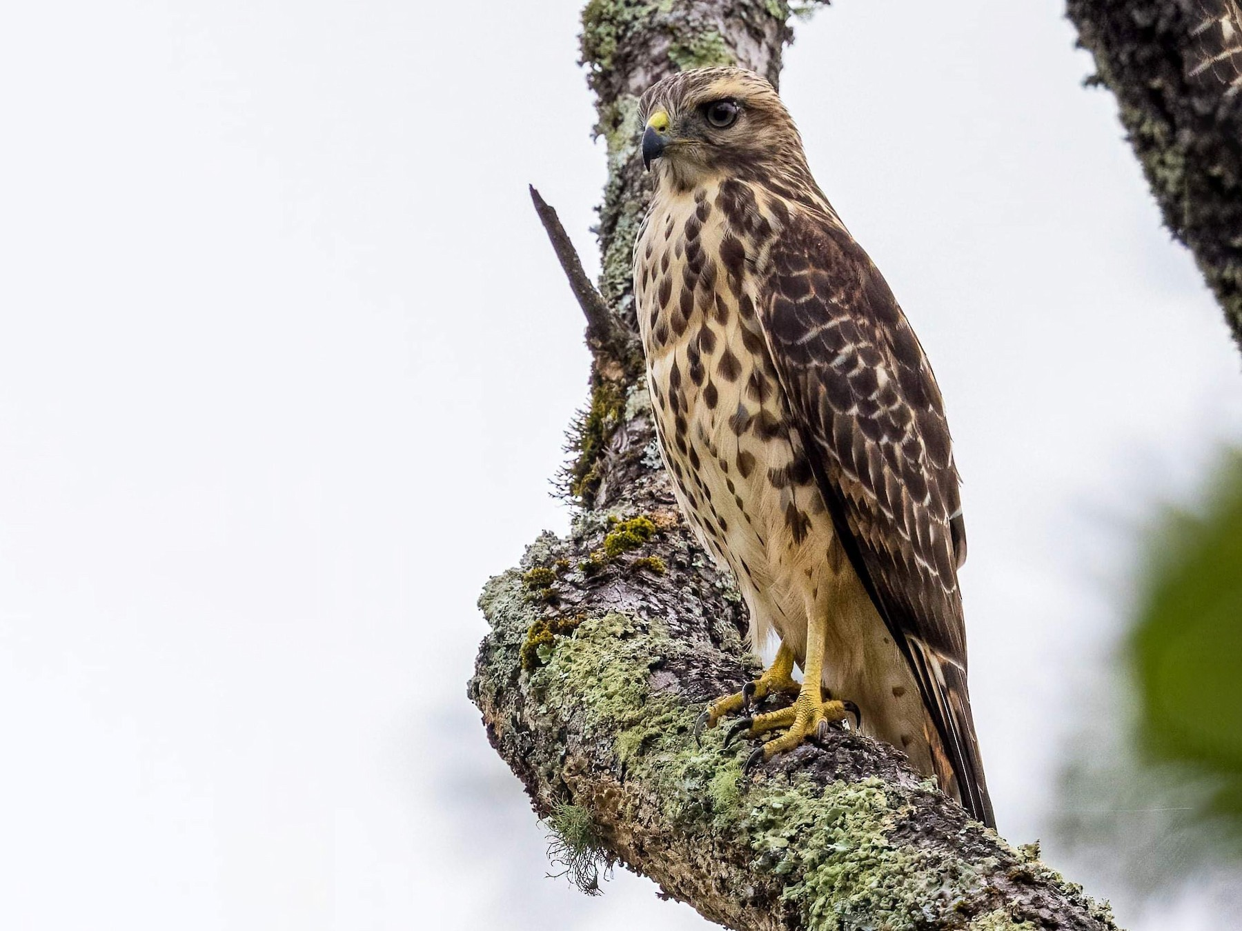 Red-shouldered Hawk - Cynthia King
