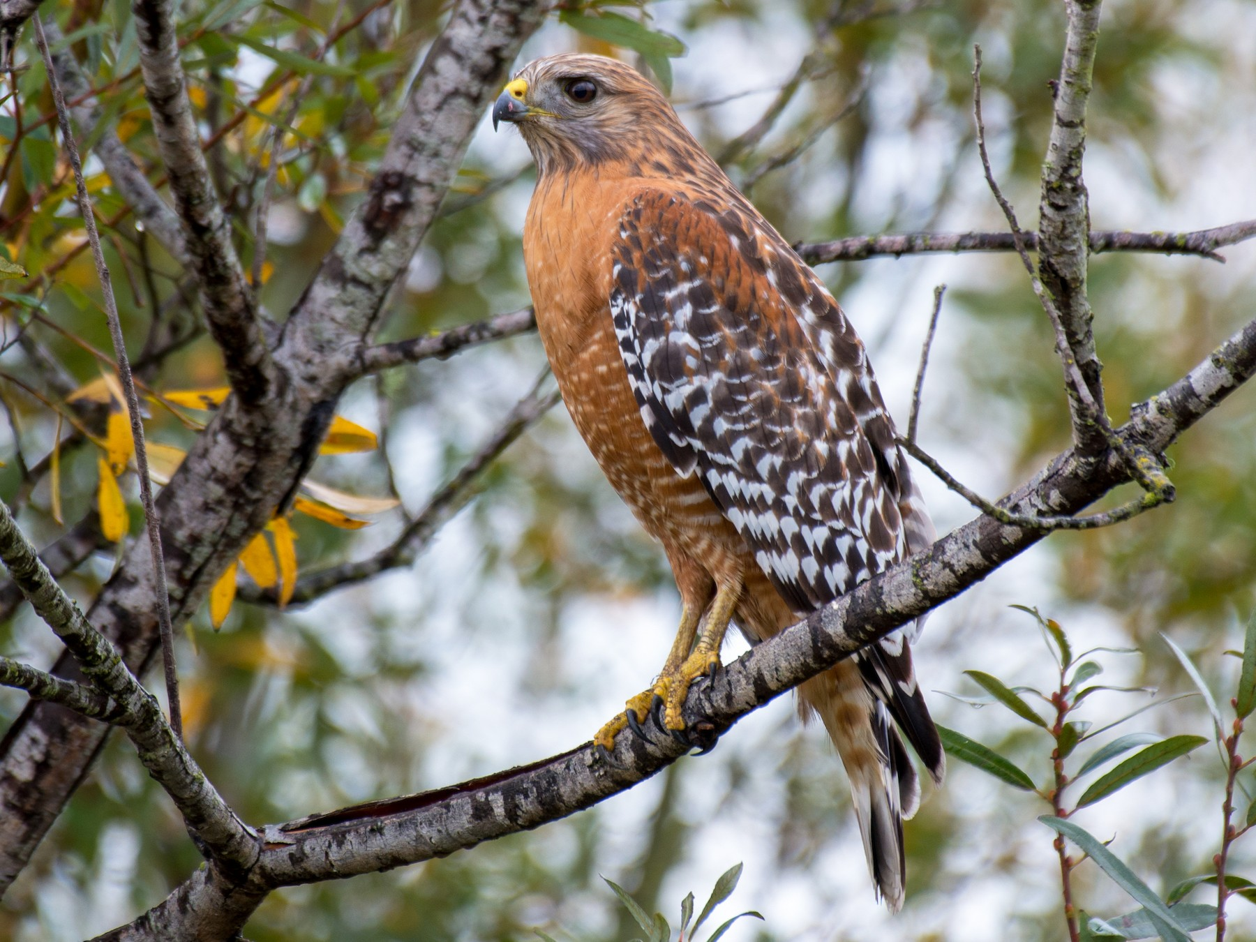 Red-shouldered Hawk - Herb Elliott