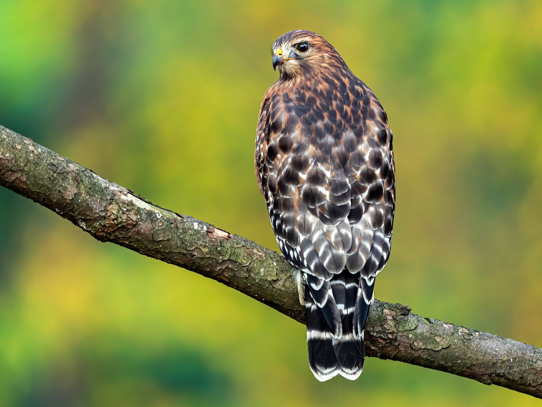 Red-shouldered Hawk - Brad Imhoff
