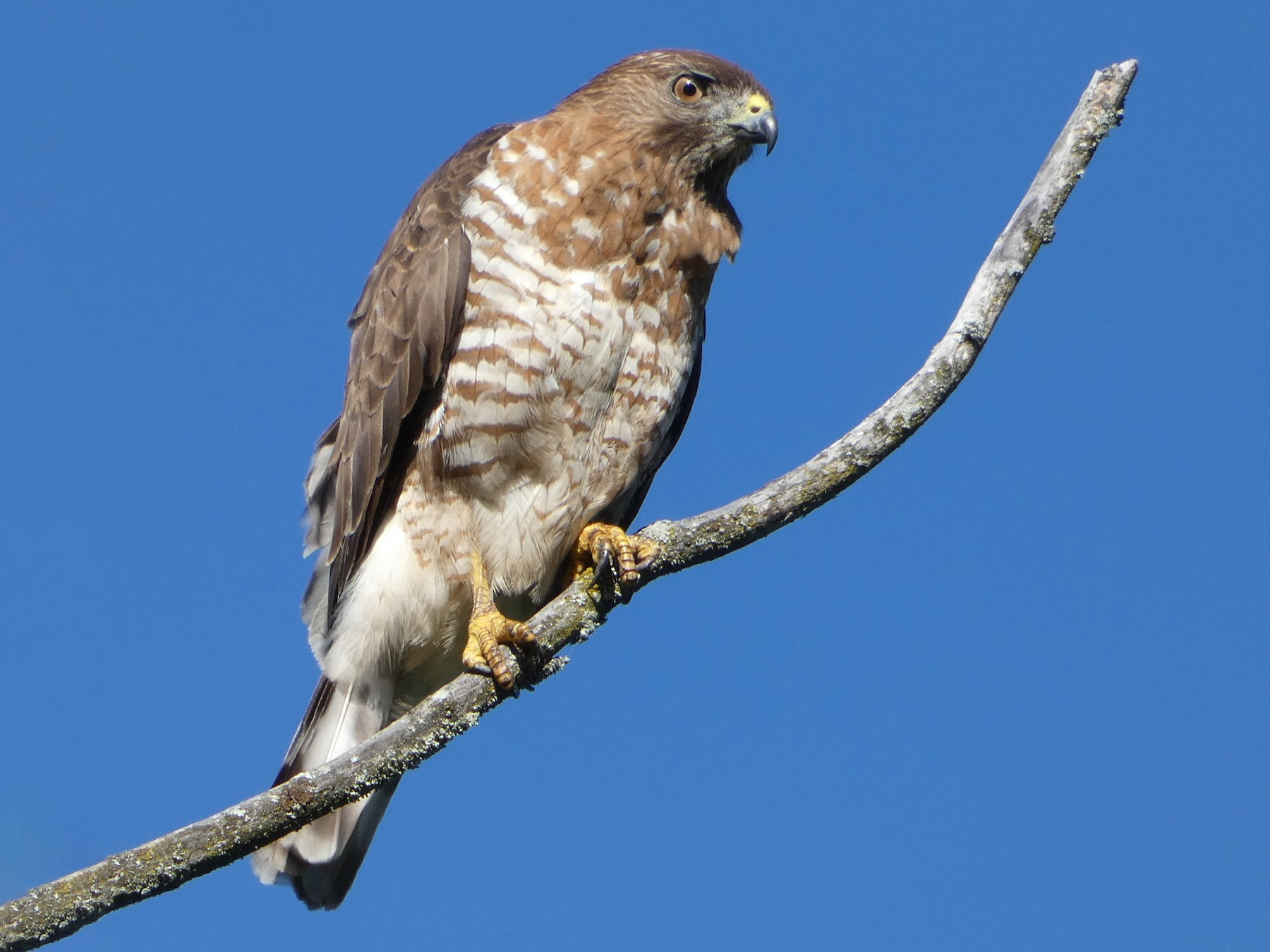 Broad-winged Hawk - Monique Berlinguette