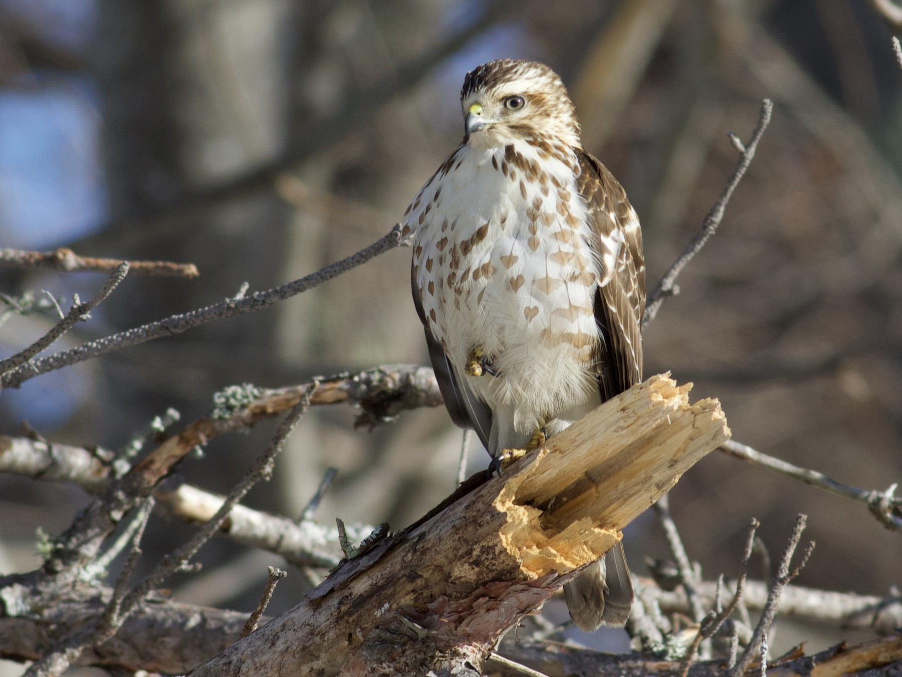 Broad-winged Hawk - Nathan Dubrow