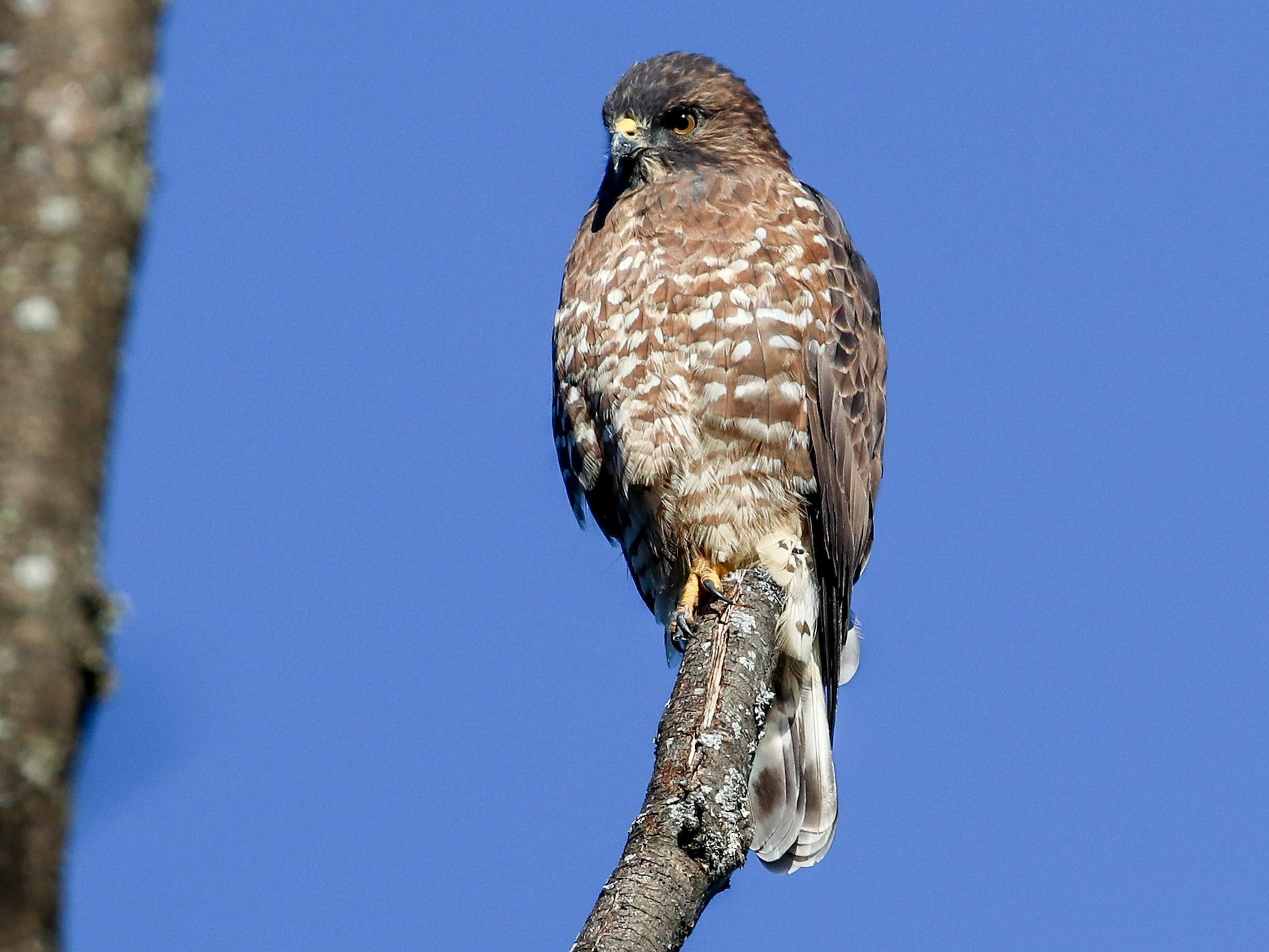 Broad-winged Hawk - Martina Nordstrand