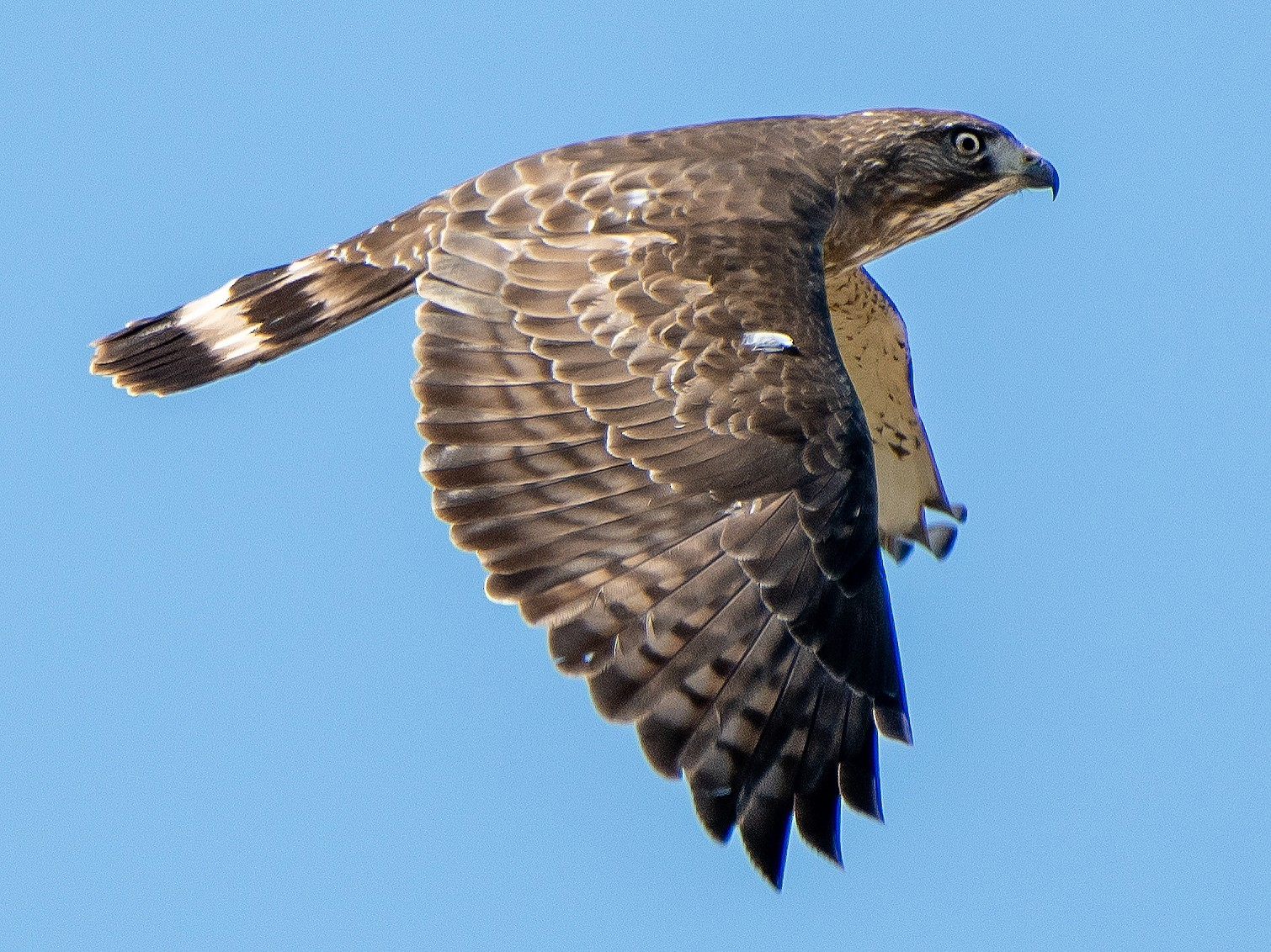 Broad-winged Hawk - Mary McSparen