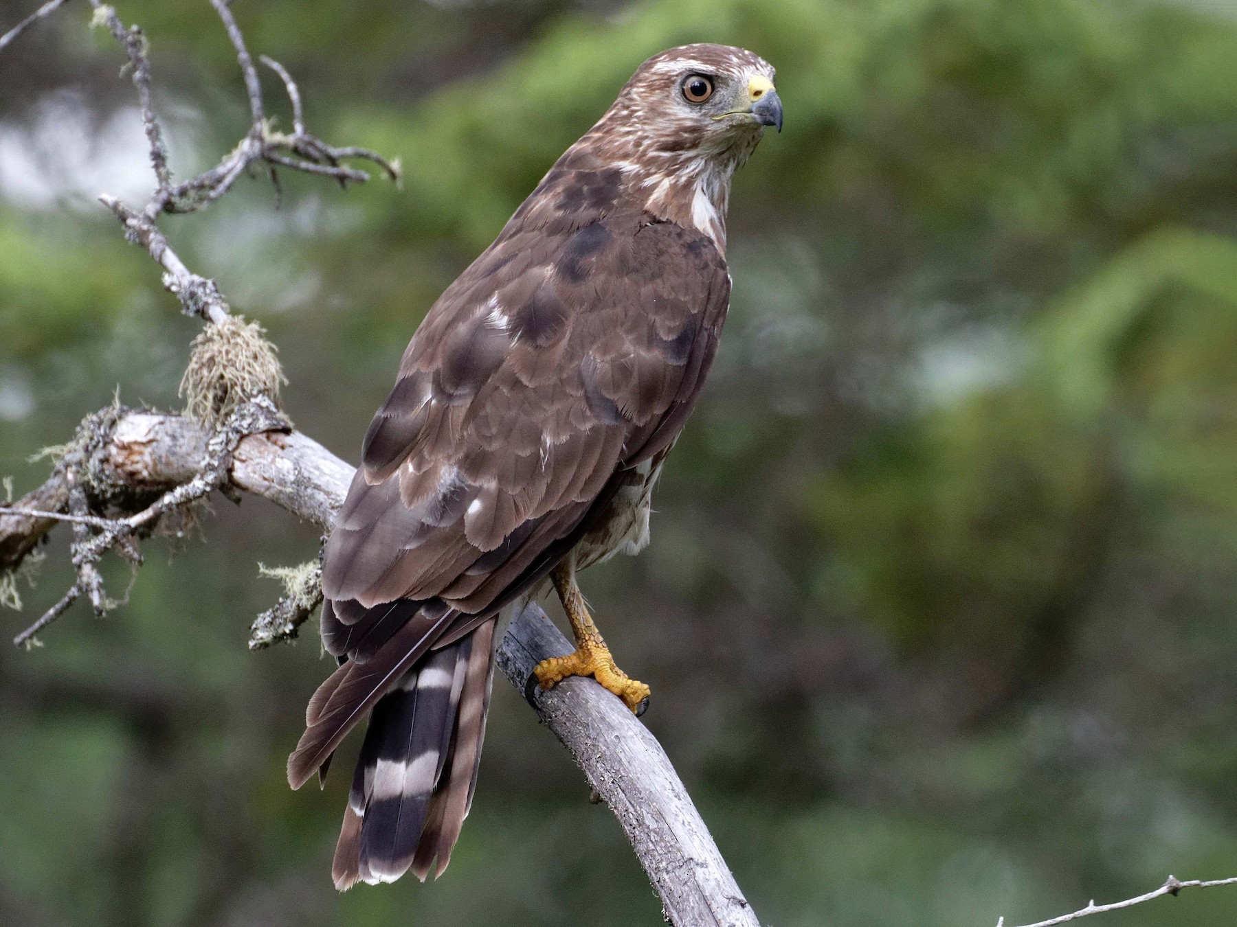 Broad-winged Hawk - James Sawusch