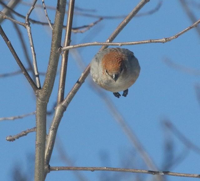 ©thom skelding - Pine Grosbeak