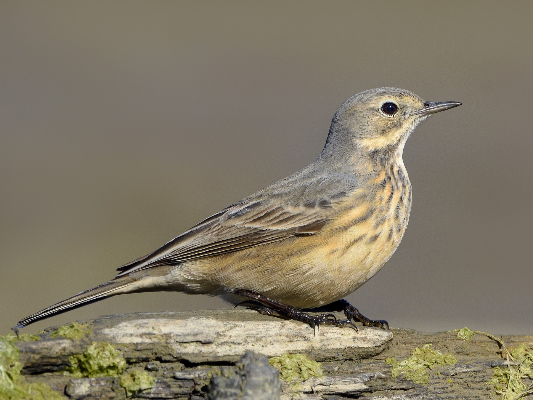 American Pipit - Paul Maury
