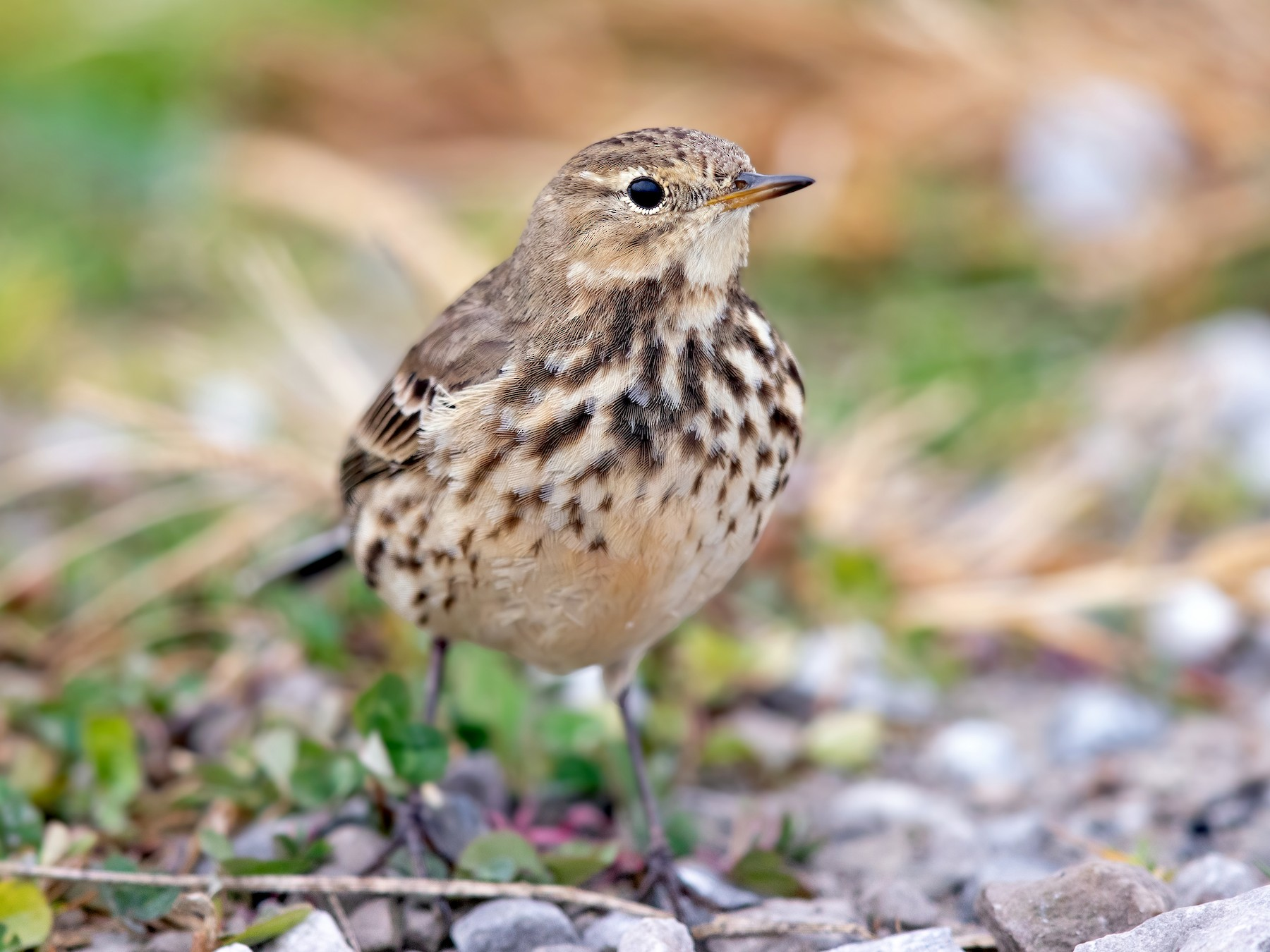 American Pipit - Brad Imhoff