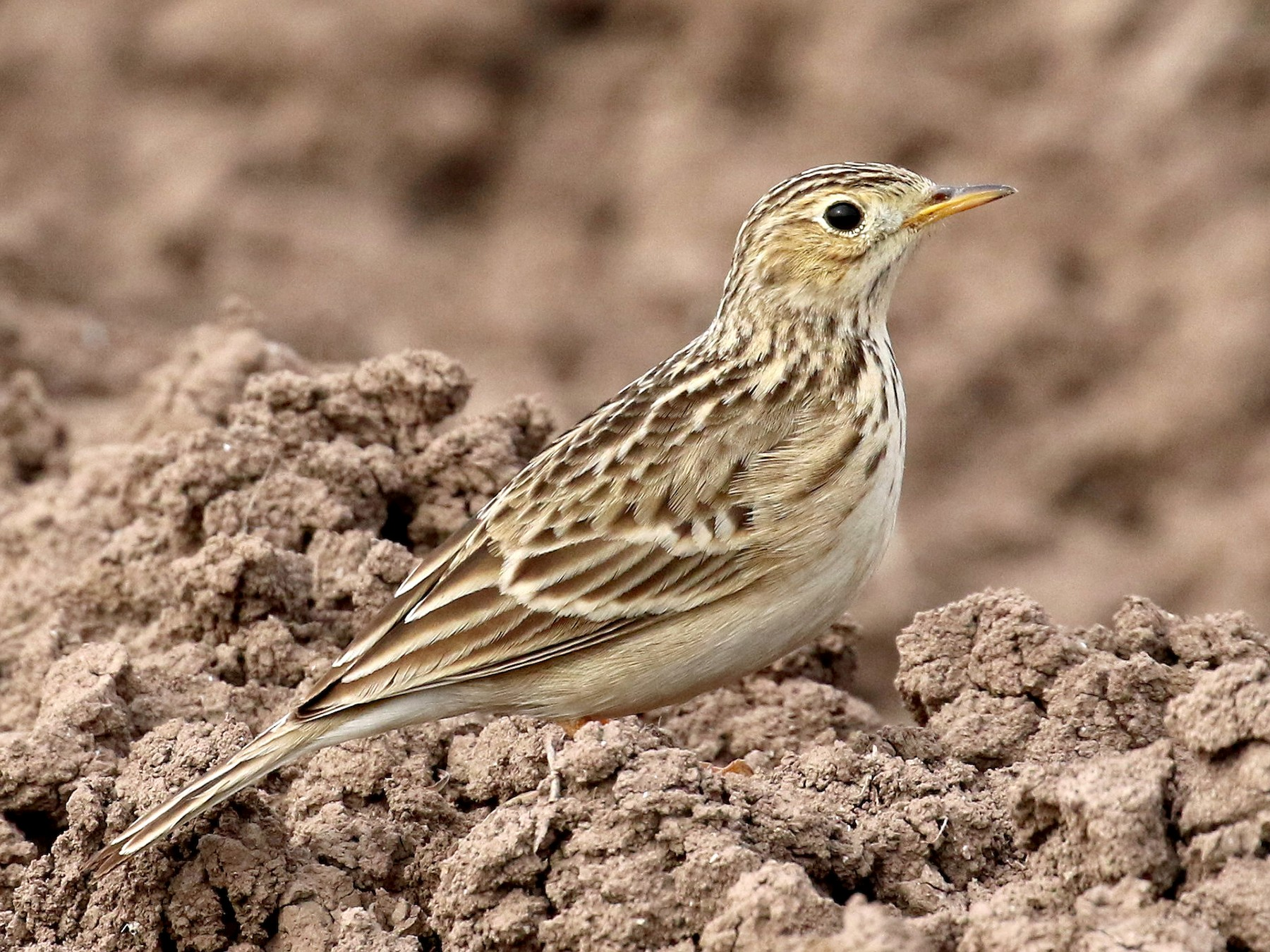 Sprague's Pipit - Dan Jones