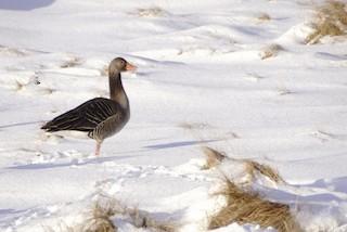 Graylag Goose, ML306161611