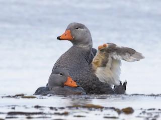 - Flightless Steamer-Duck