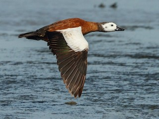 - South African Shelduck