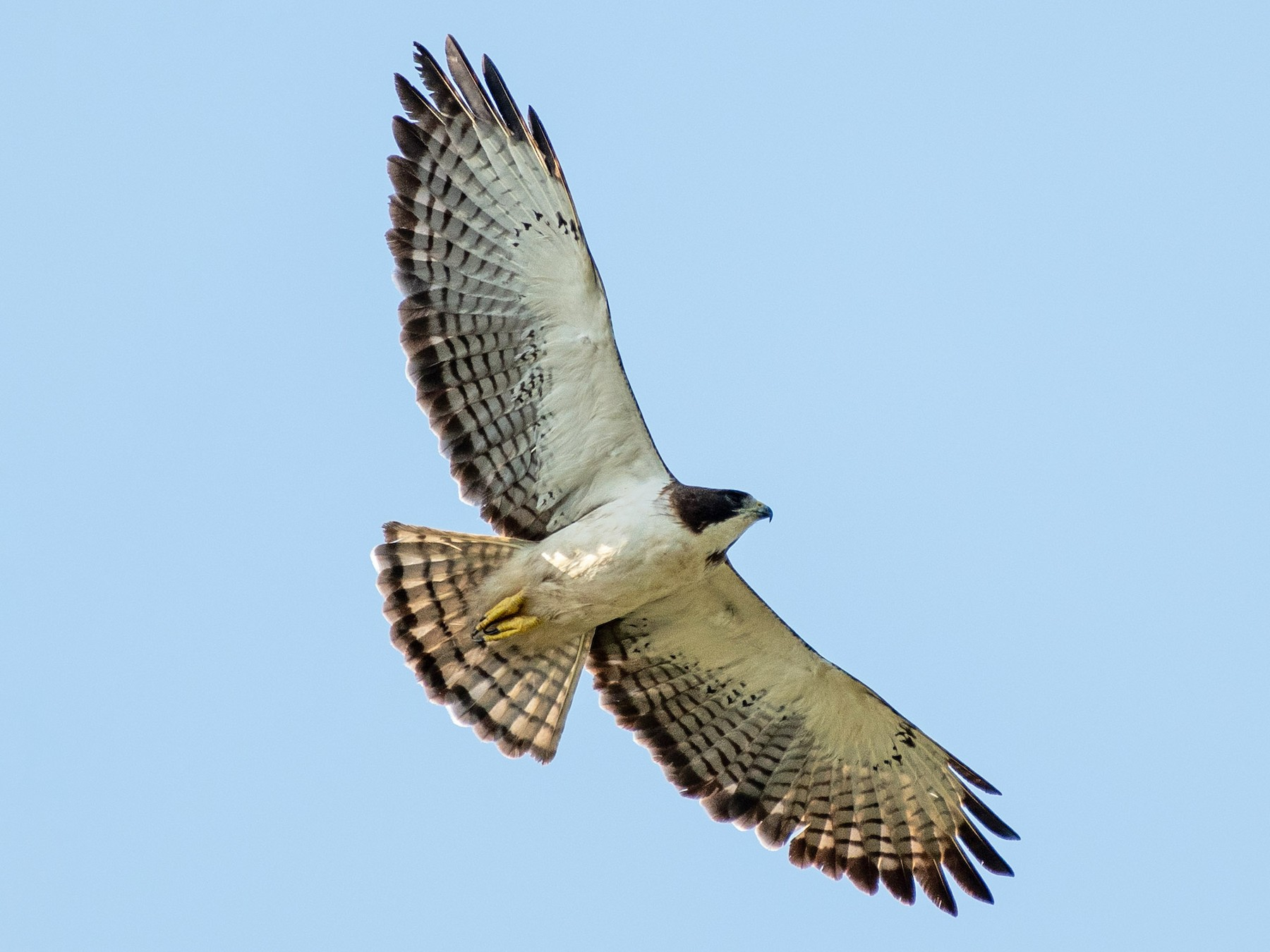 Short-tailed Hawk - Dick Murray