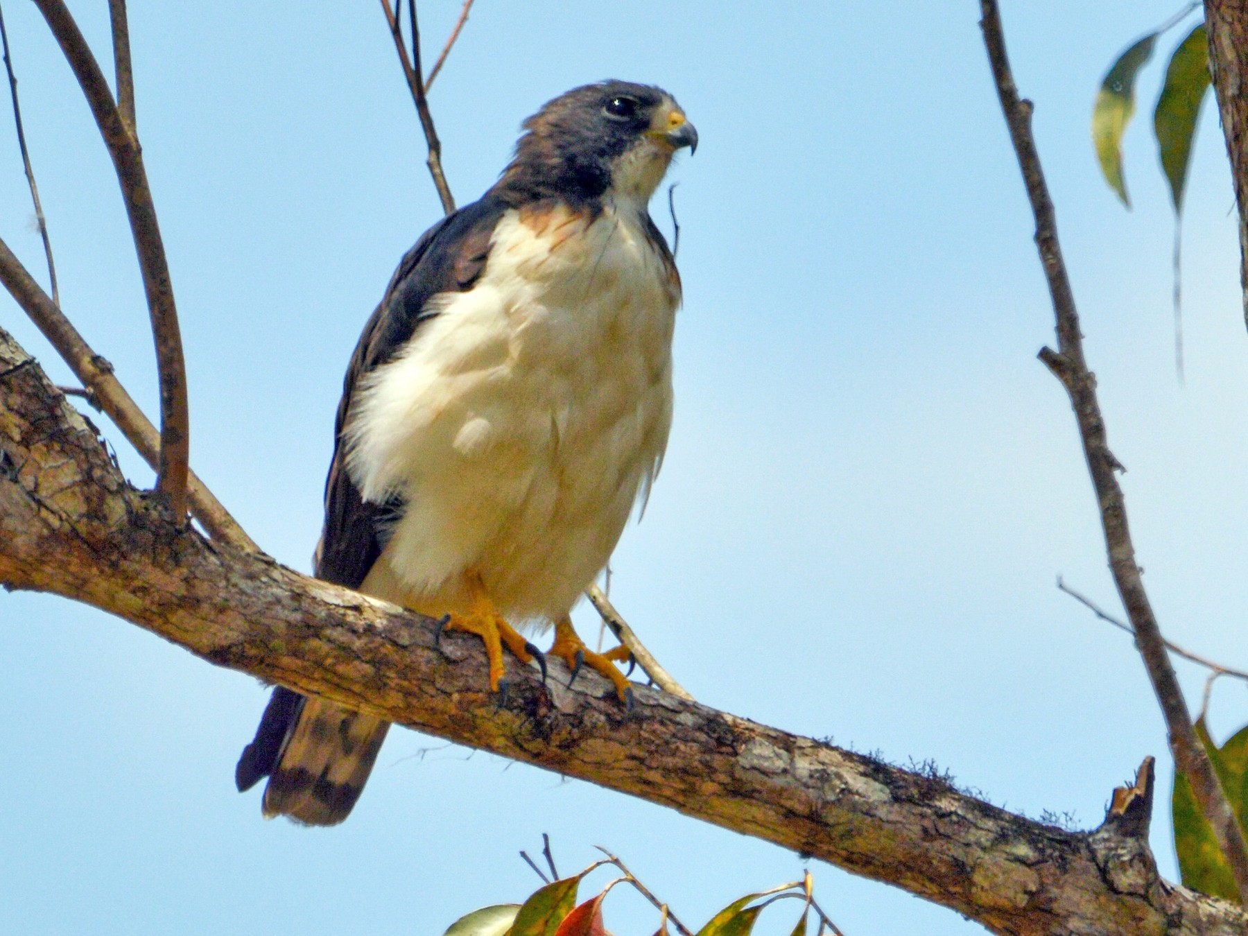 Short-tailed Hawk - Jorge Torres Apolo