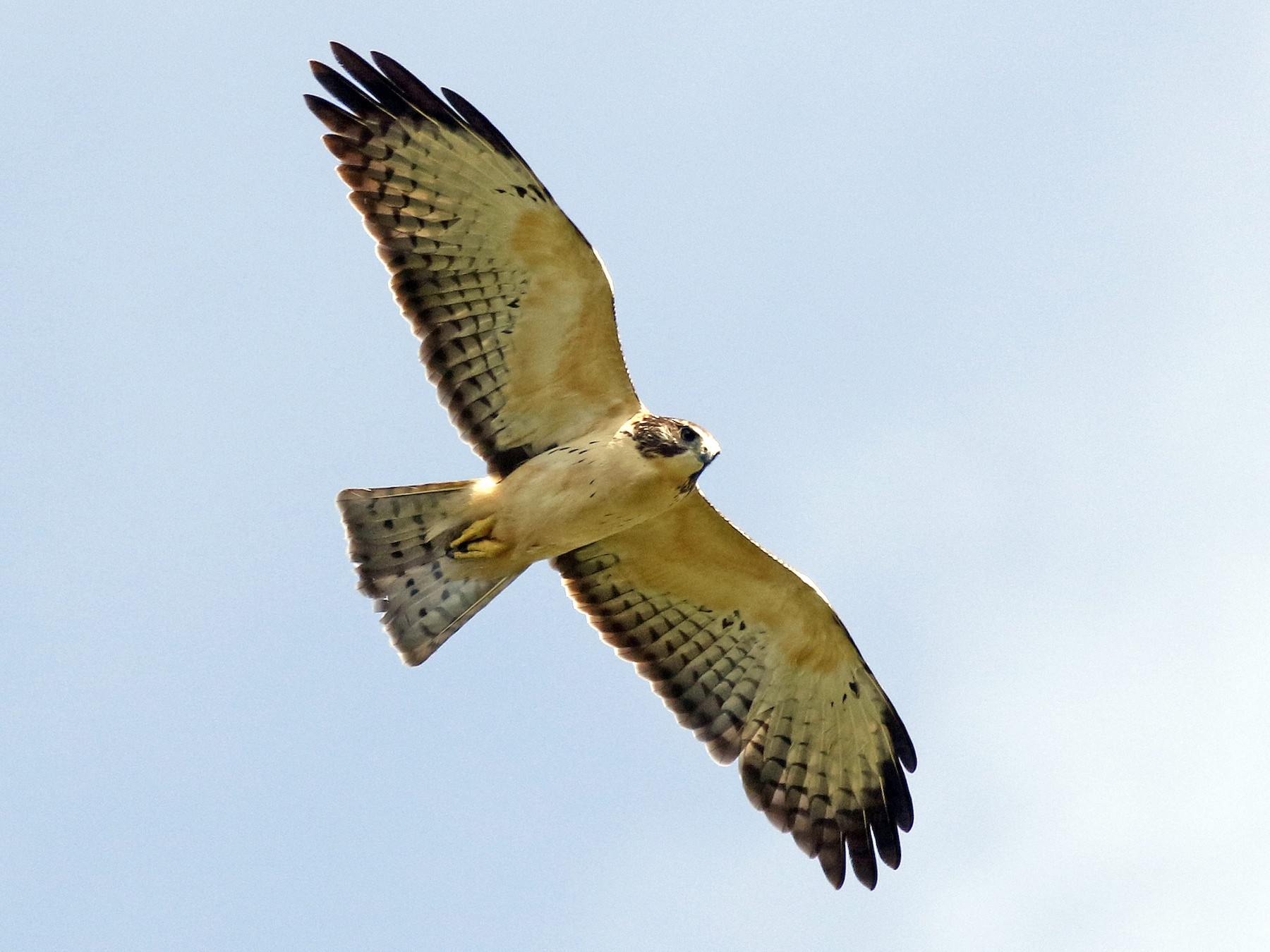 Short-tailed Hawk - David McQuade