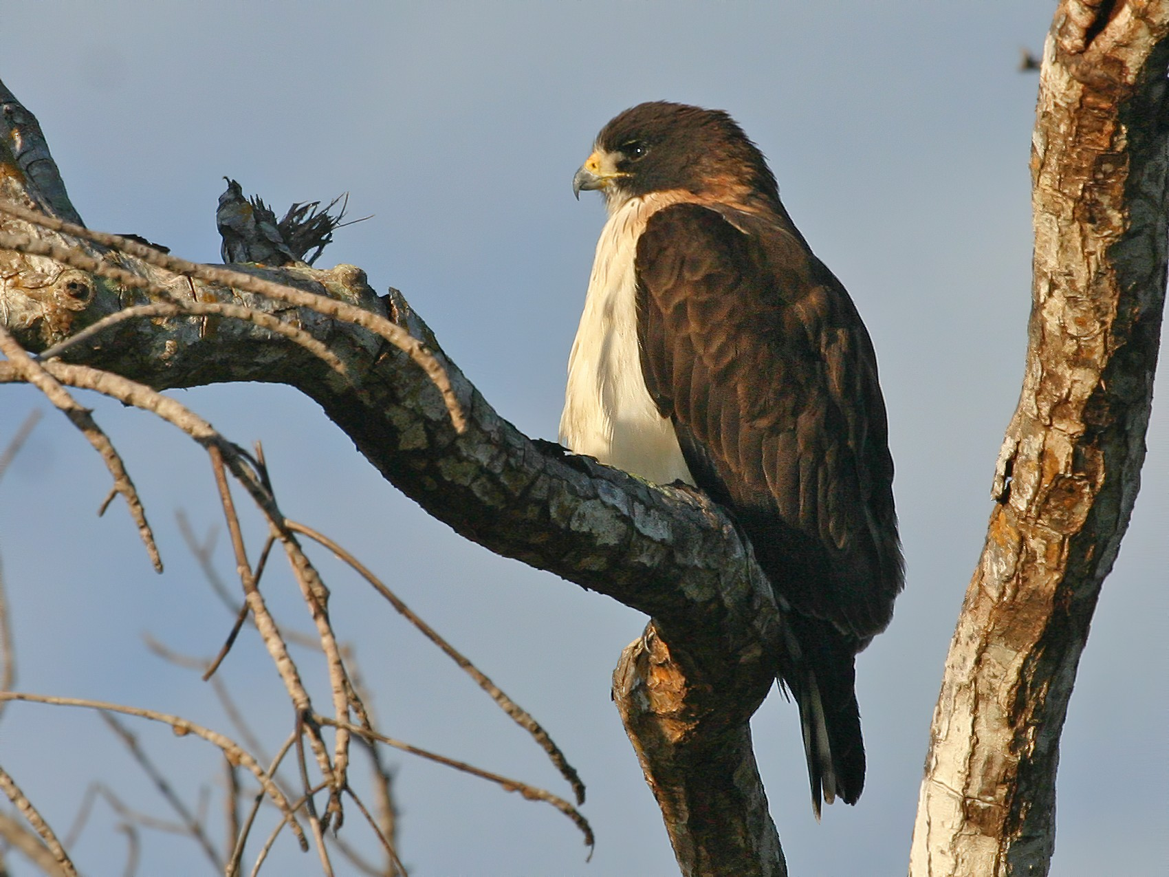 Short-tailed Hawk - Chris Wood