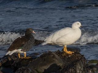 - Kelp Goose