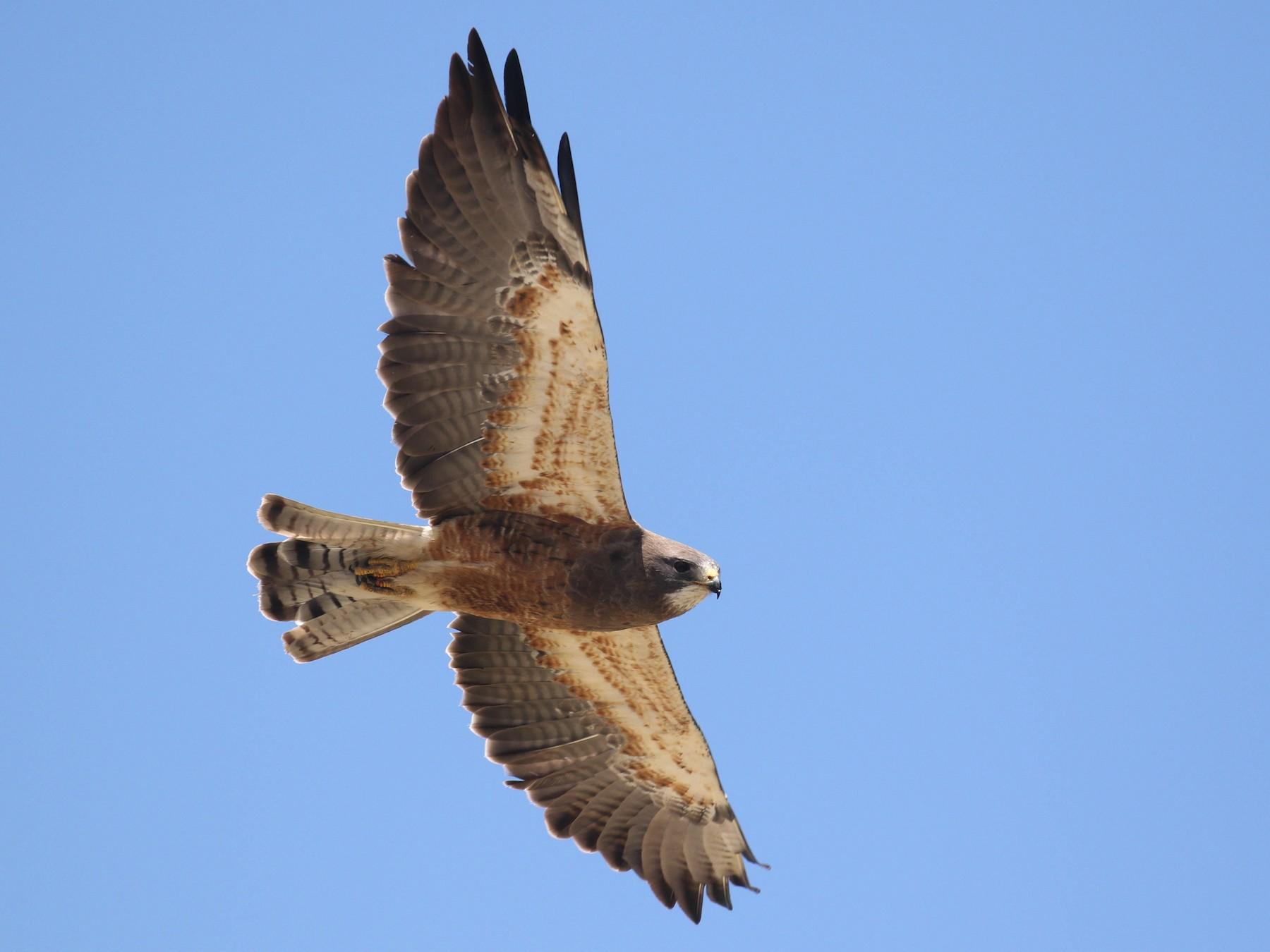 Swainson's Hawk - Alex Lamoreaux