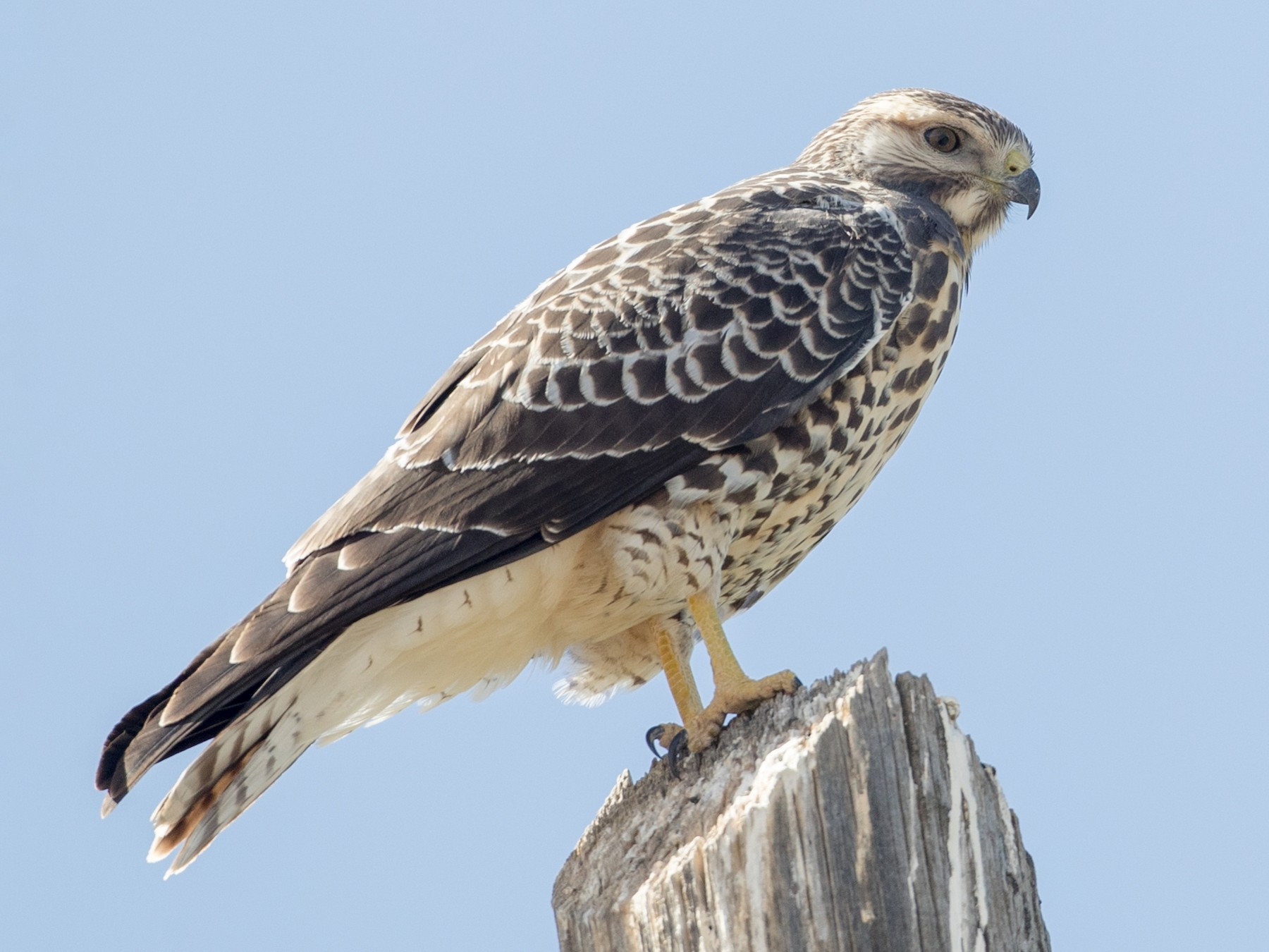 Swainson's Hawk - Ian Davies