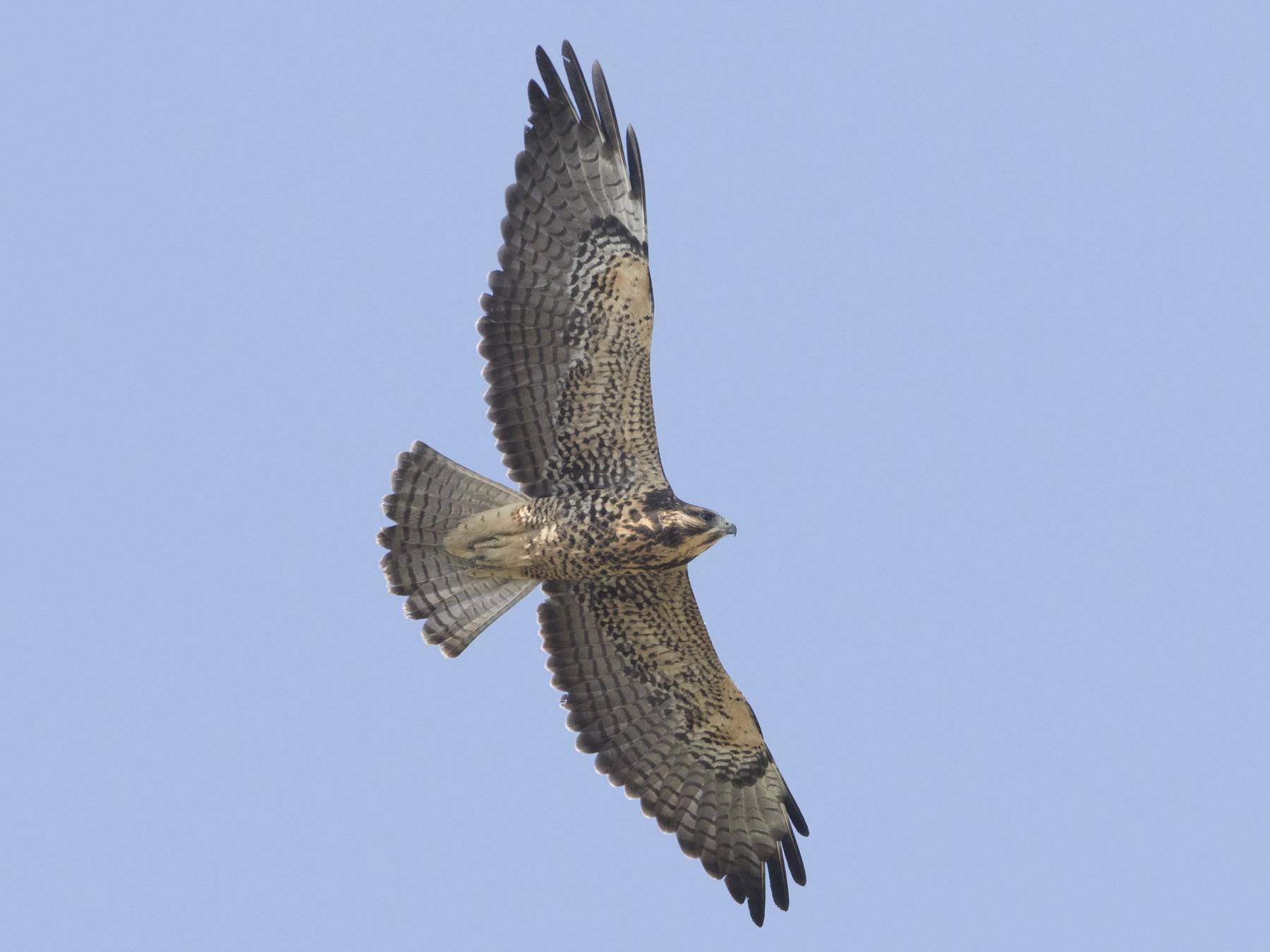 Swainson's Hawk - Brian Sullivan