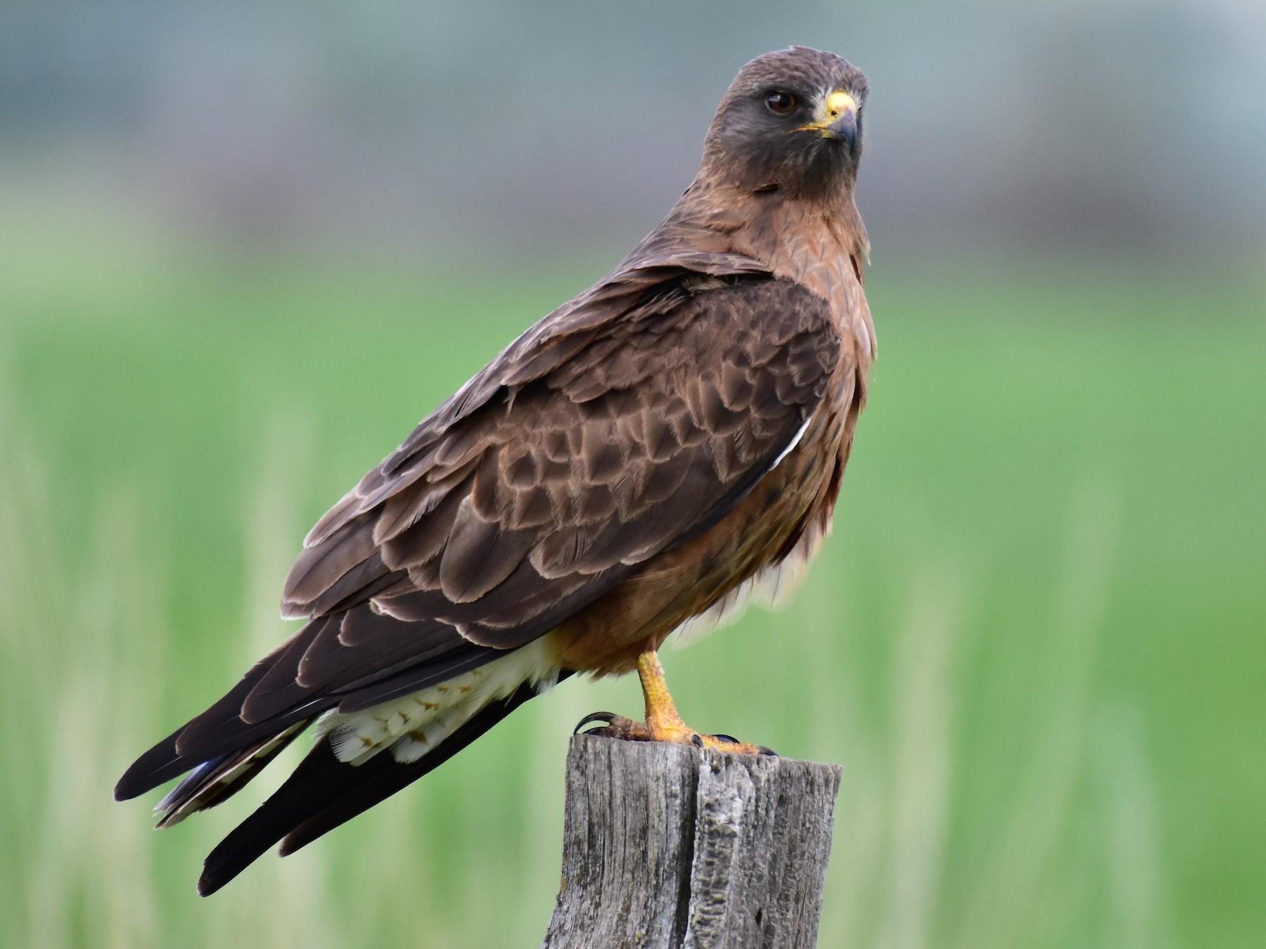 Swainson's Hawk - Harold Ziolkowski