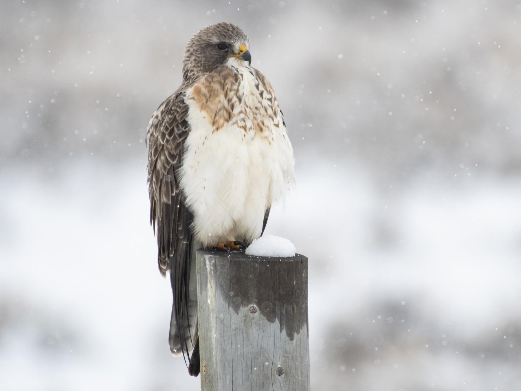 Swainson's Hawk - Bryan Calk