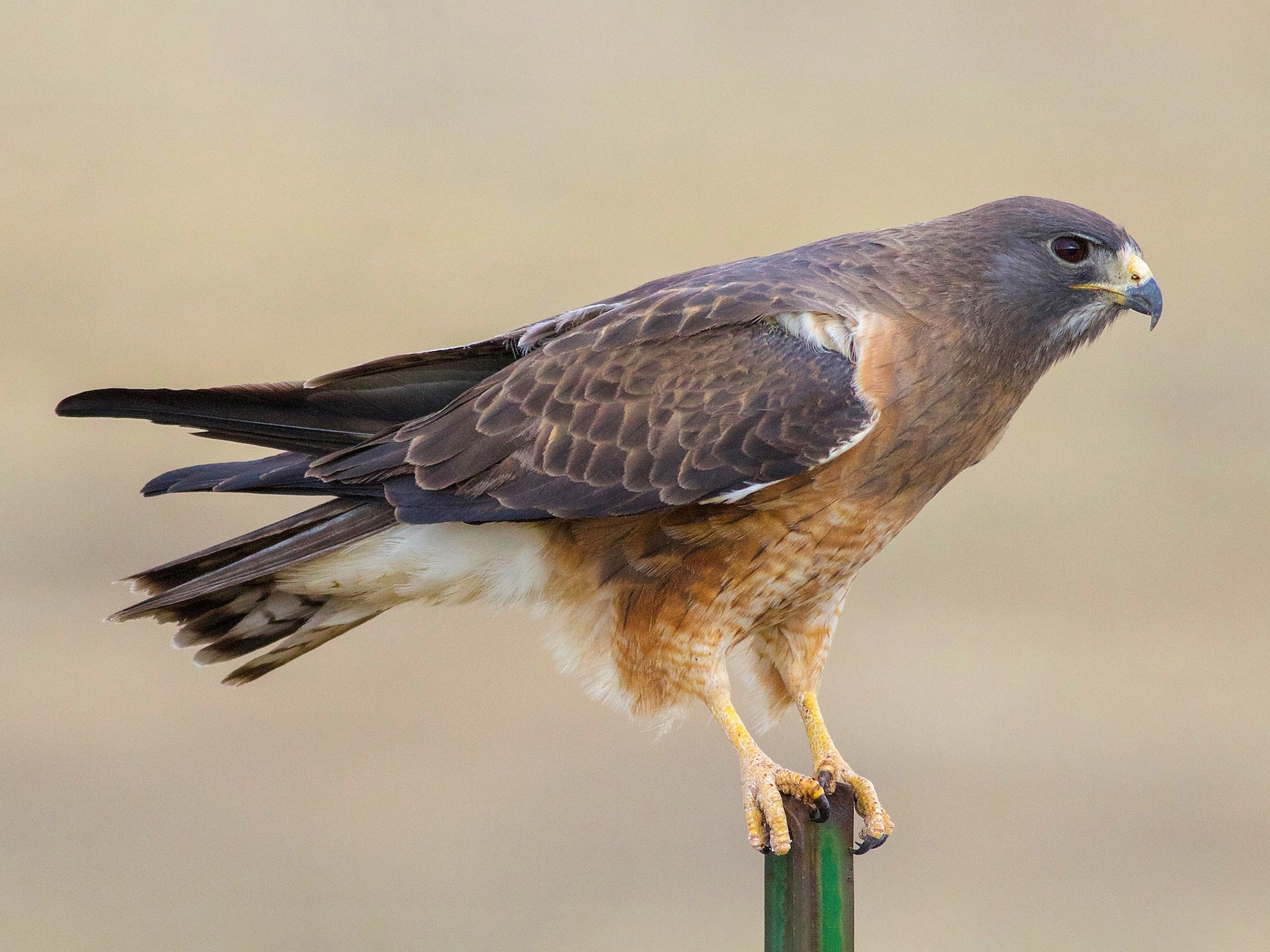 Swainson's Hawk - Gordon Atkins