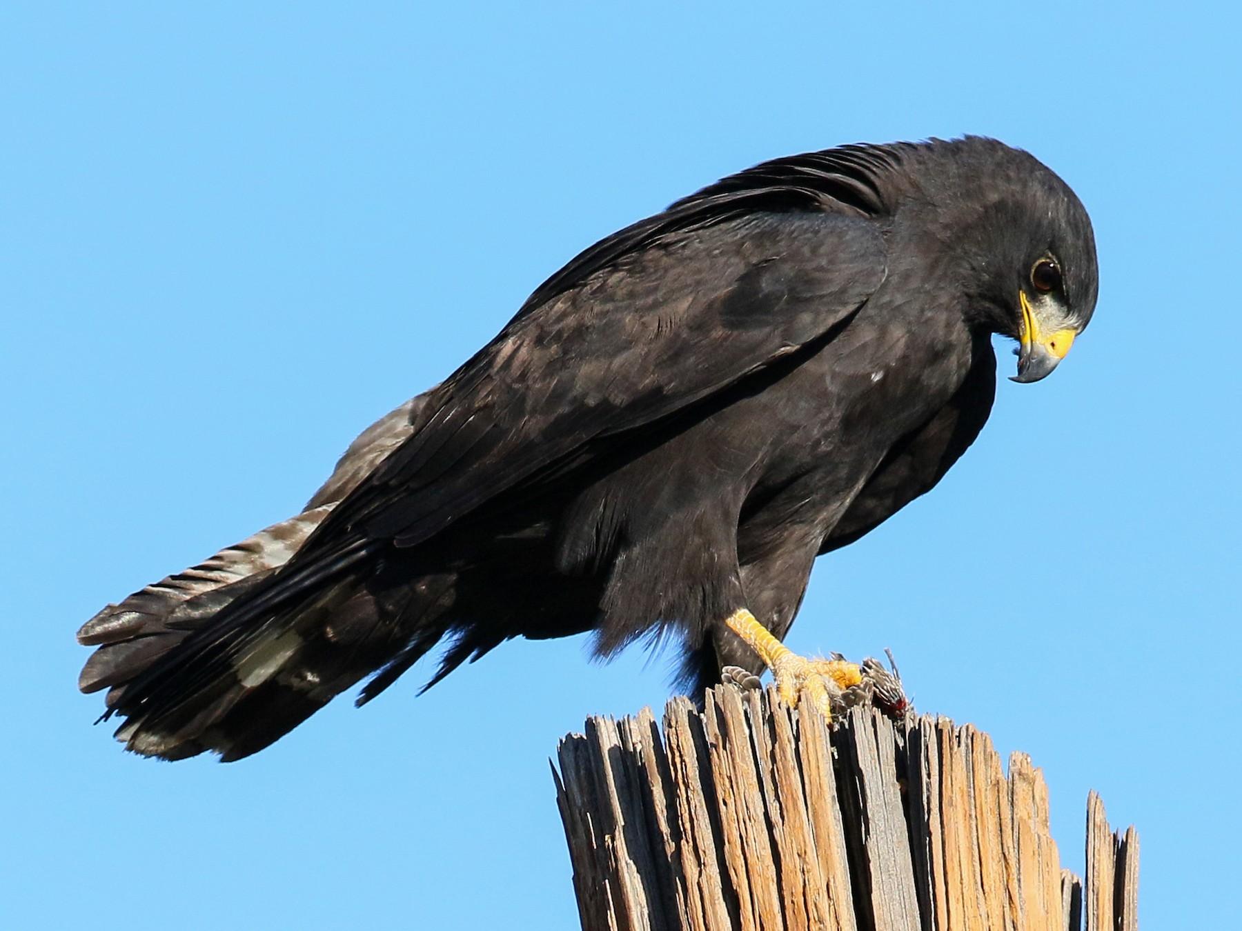 Zone-tailed Hawk - Chris McCreedy - no playbacks