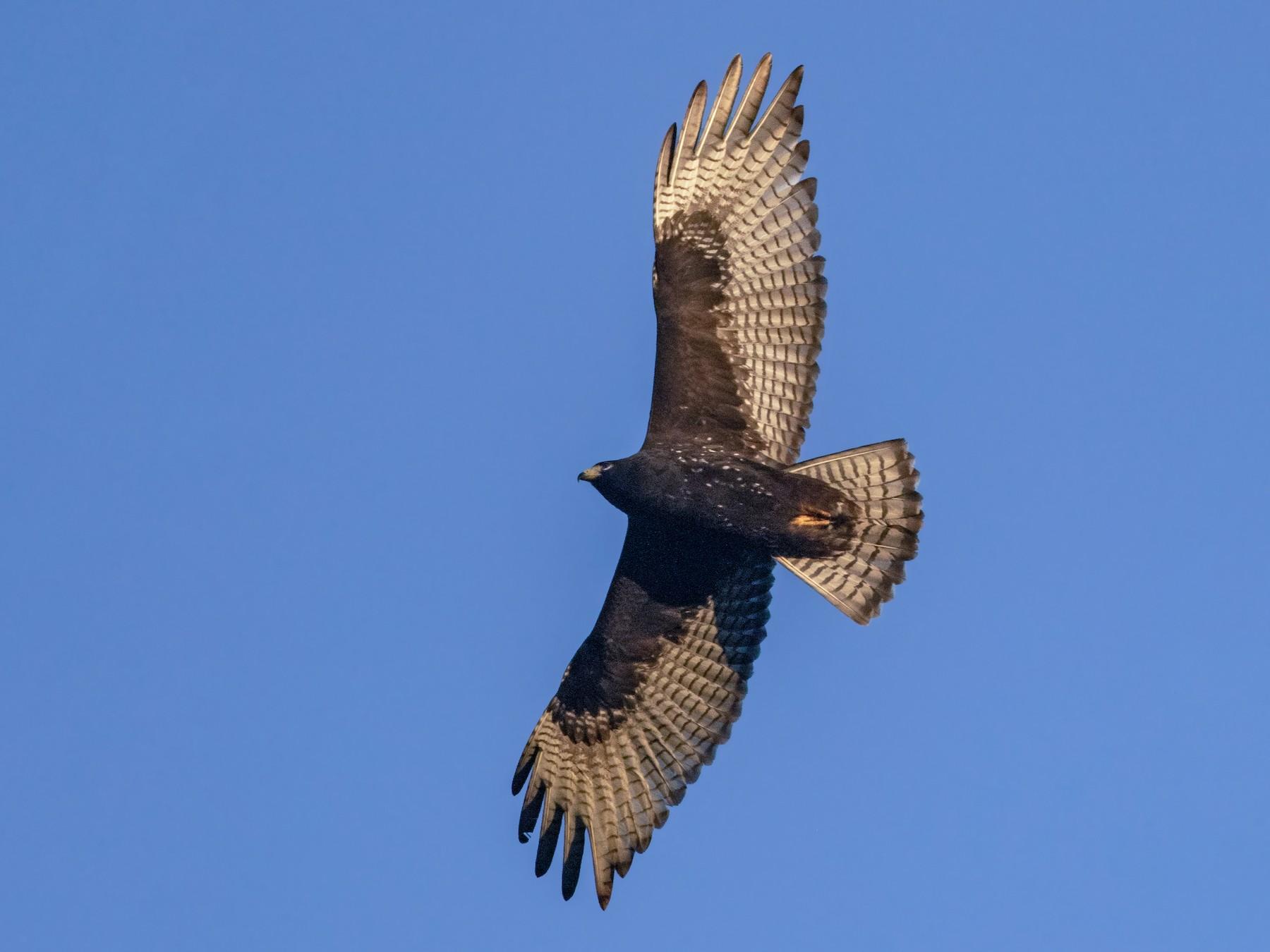 Zone-tailed Hawk - Iris Kilpatrick