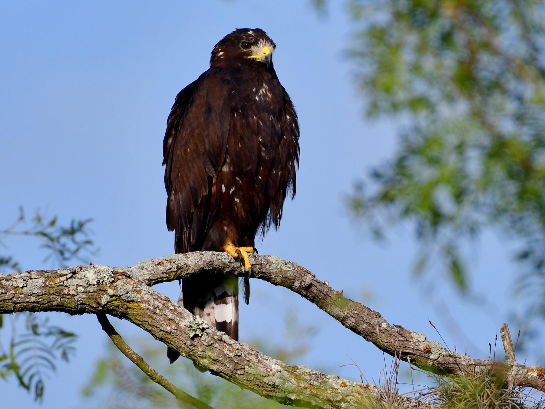 Zone-tailed Hawk - Bryan Calk