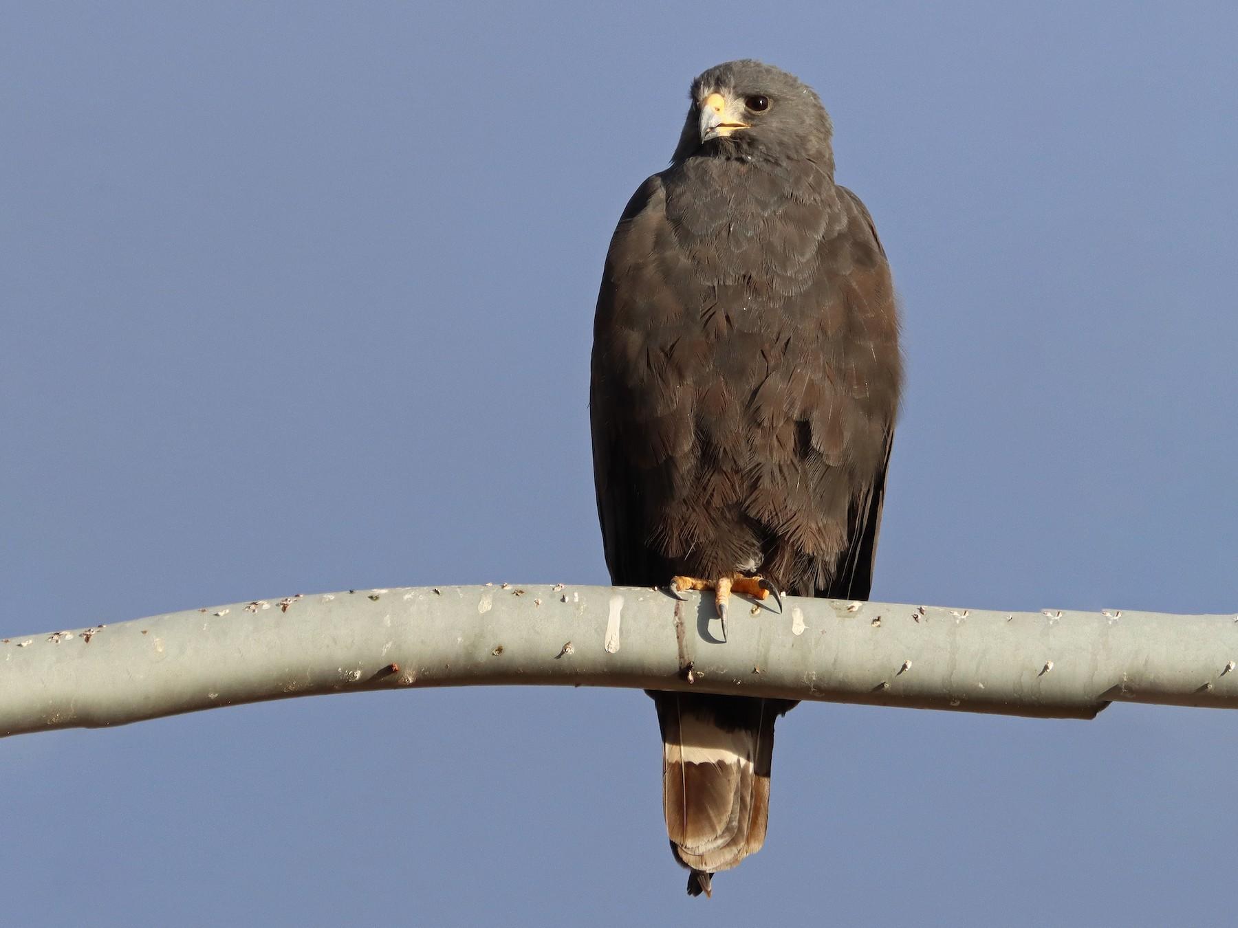 Zone-tailed Hawk - Dale Clark