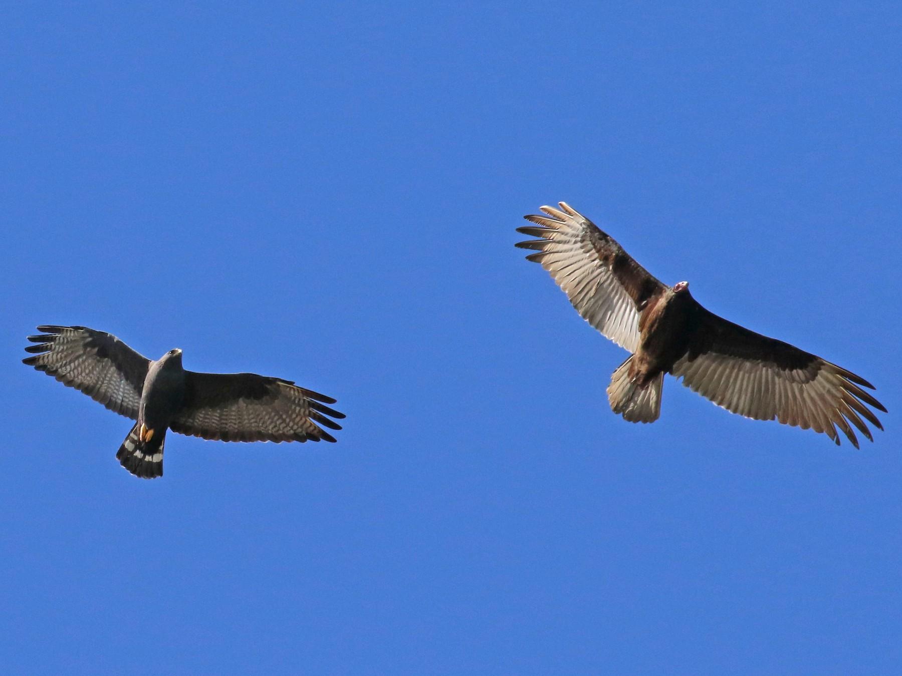 Zone-tailed Hawk - Dan Jones