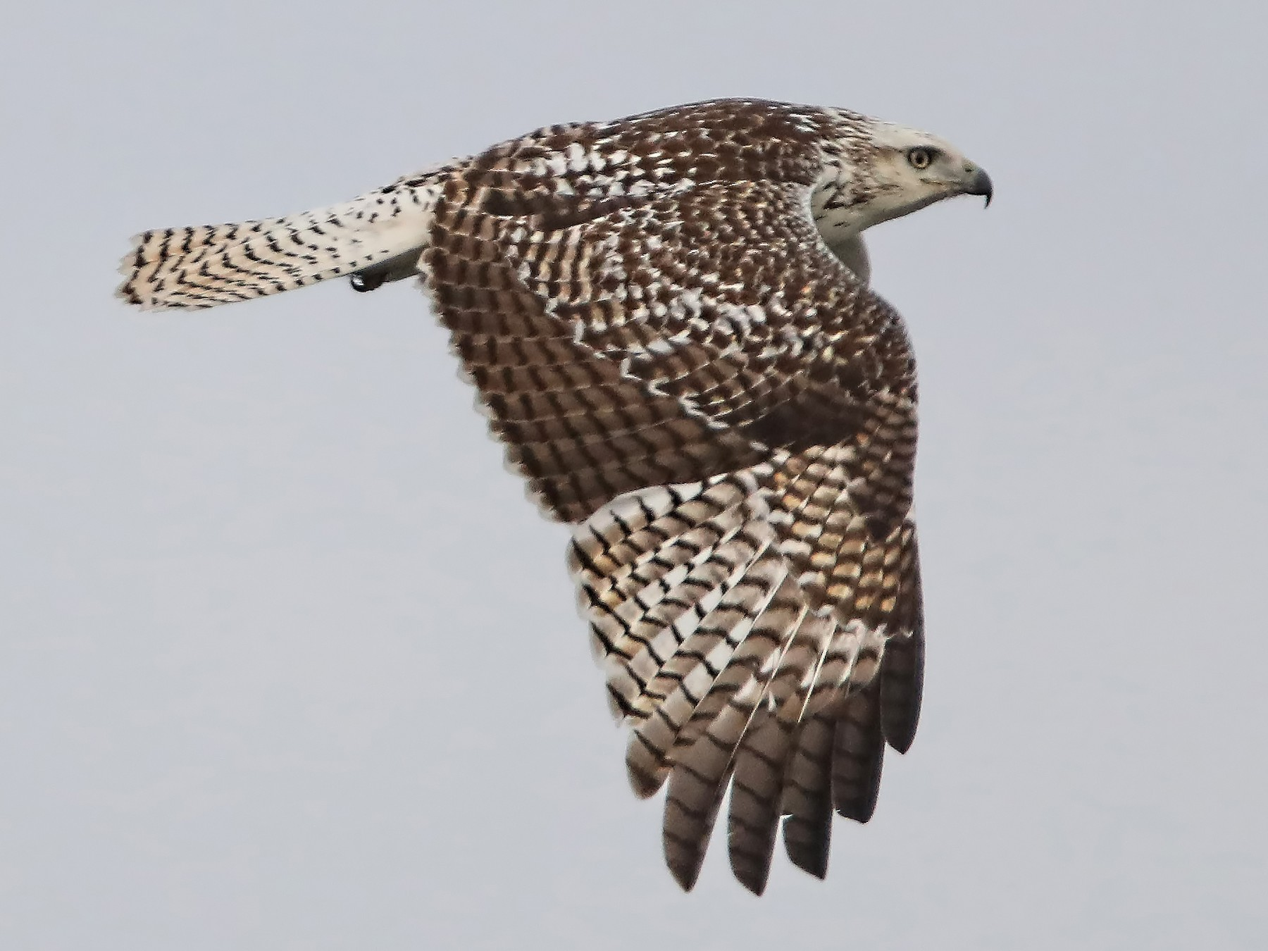 Red-tailed Hawk - Elizabeth Winter