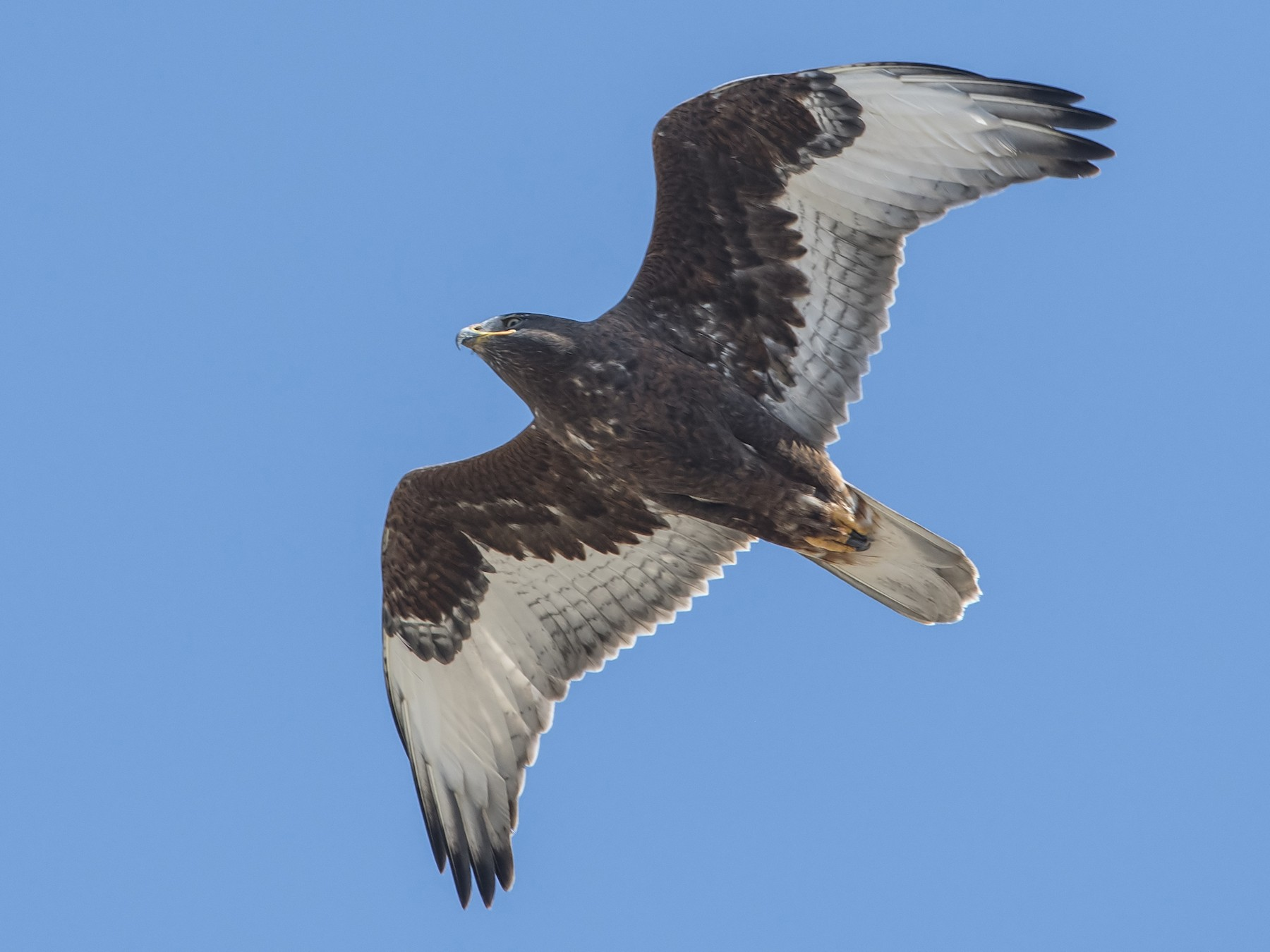Ferruginous Hawk - Jerry Ting