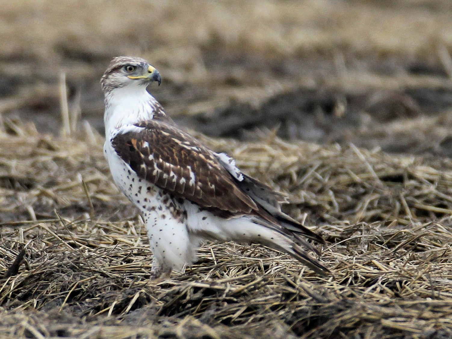 Ferruginous Hawk - Timothy P. Jones