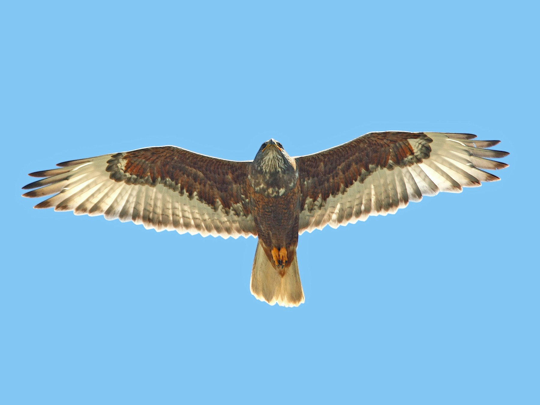 Ferruginous Hawk - Jerry Liguori