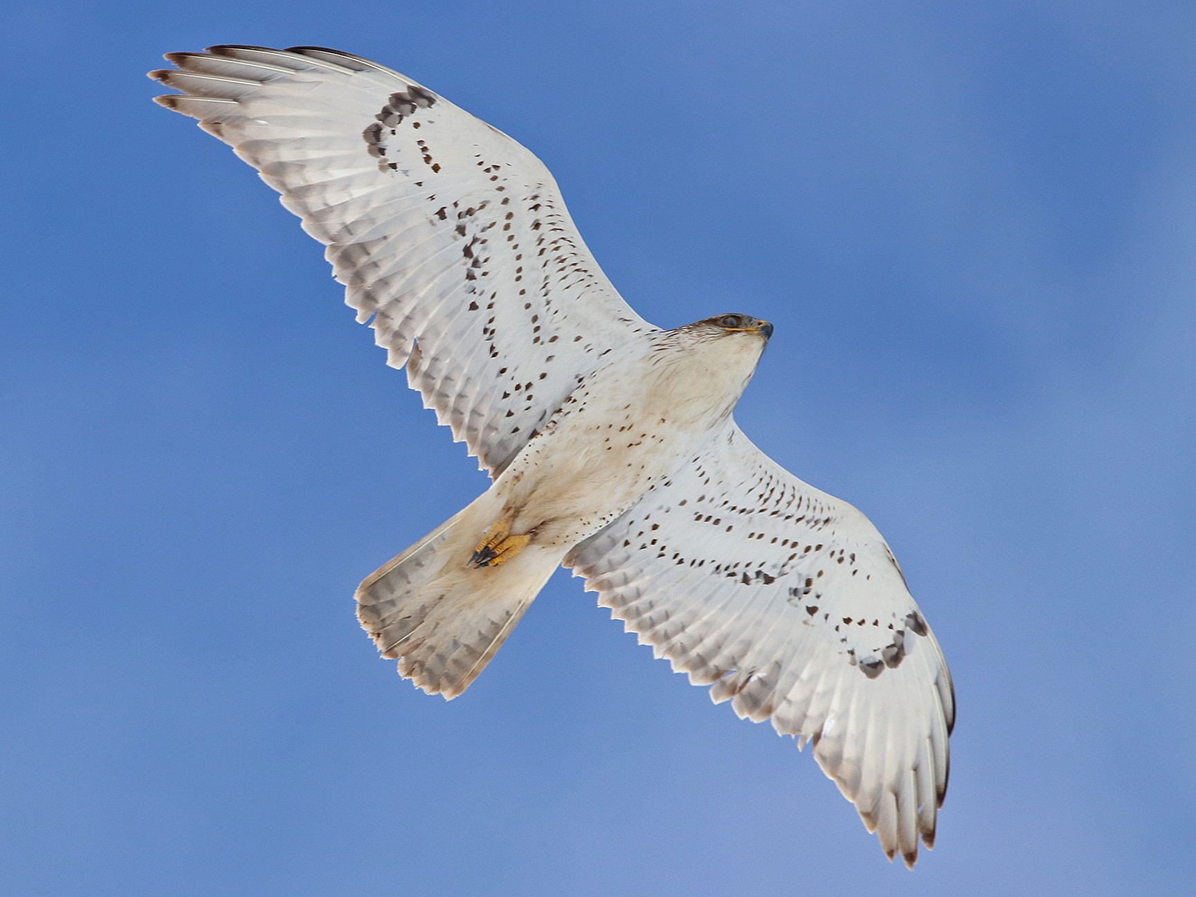 Ferruginous Hawk - Mountain West Birding Company
