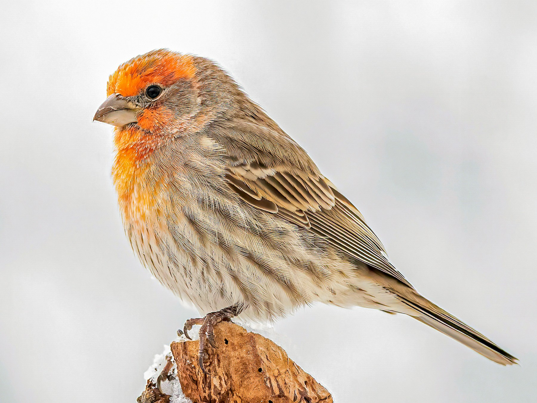 House Finch - Matthew Plante
