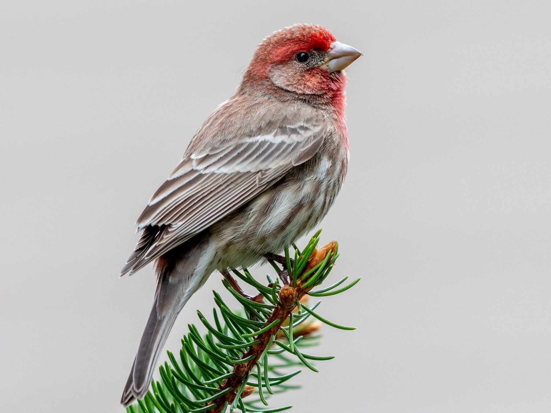 House Finch - Brad Imhoff
