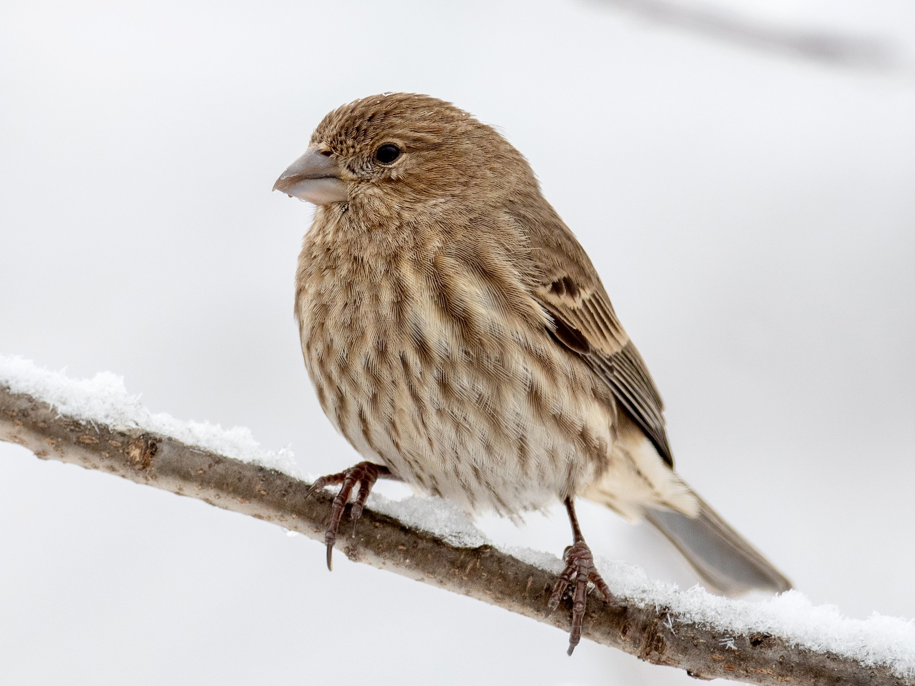 House Finch - Nic Allen