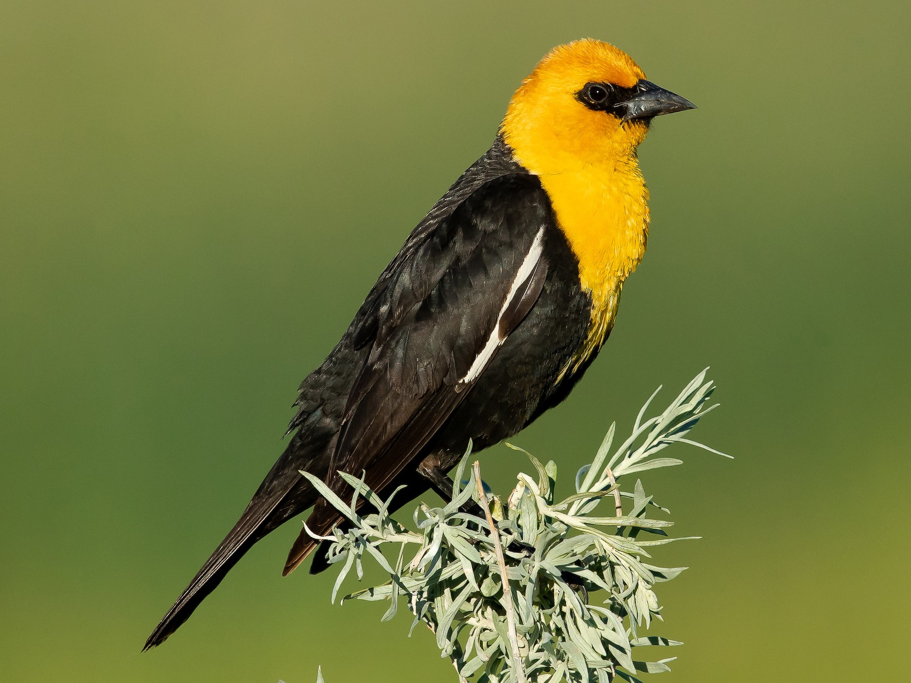 Yellow-headed Blackbird - Dorian Anderson