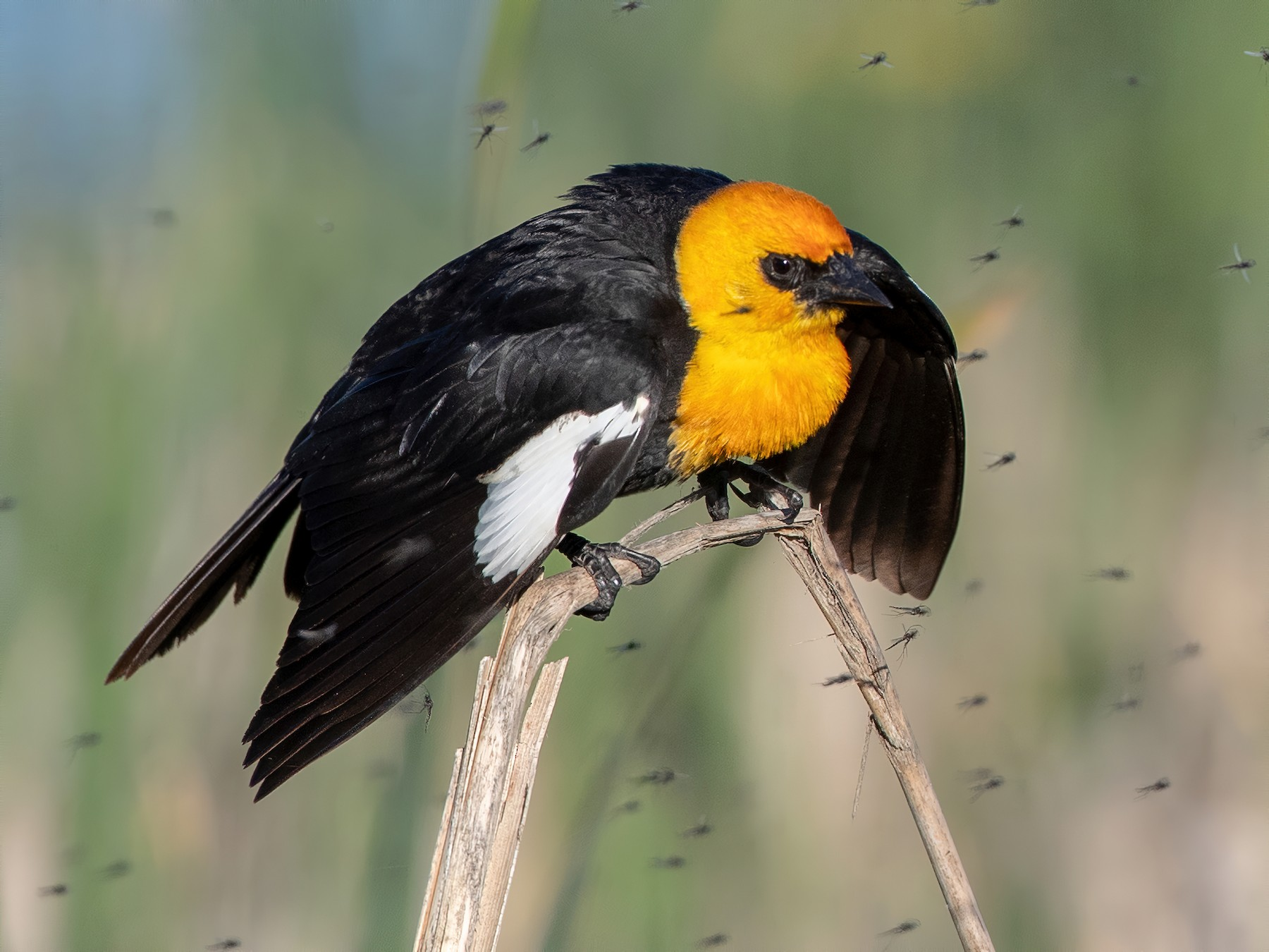 Yellow-headed Blackbird - Ian Davies