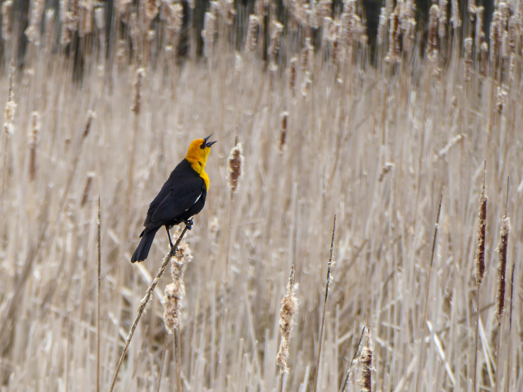 Yellow-headed Blackbird - Zack Pitman