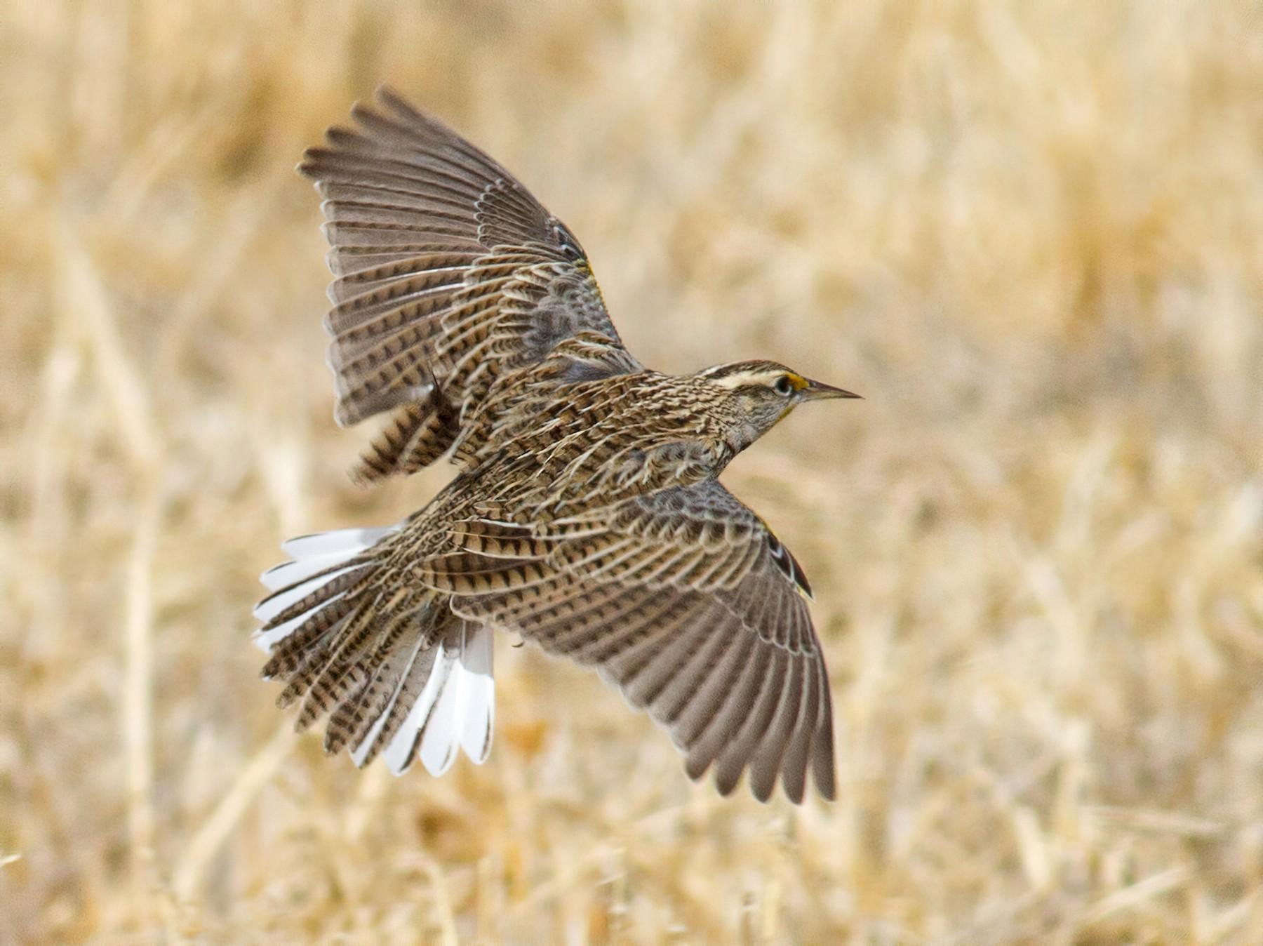 Western Meadowlark - Fyn Kynd