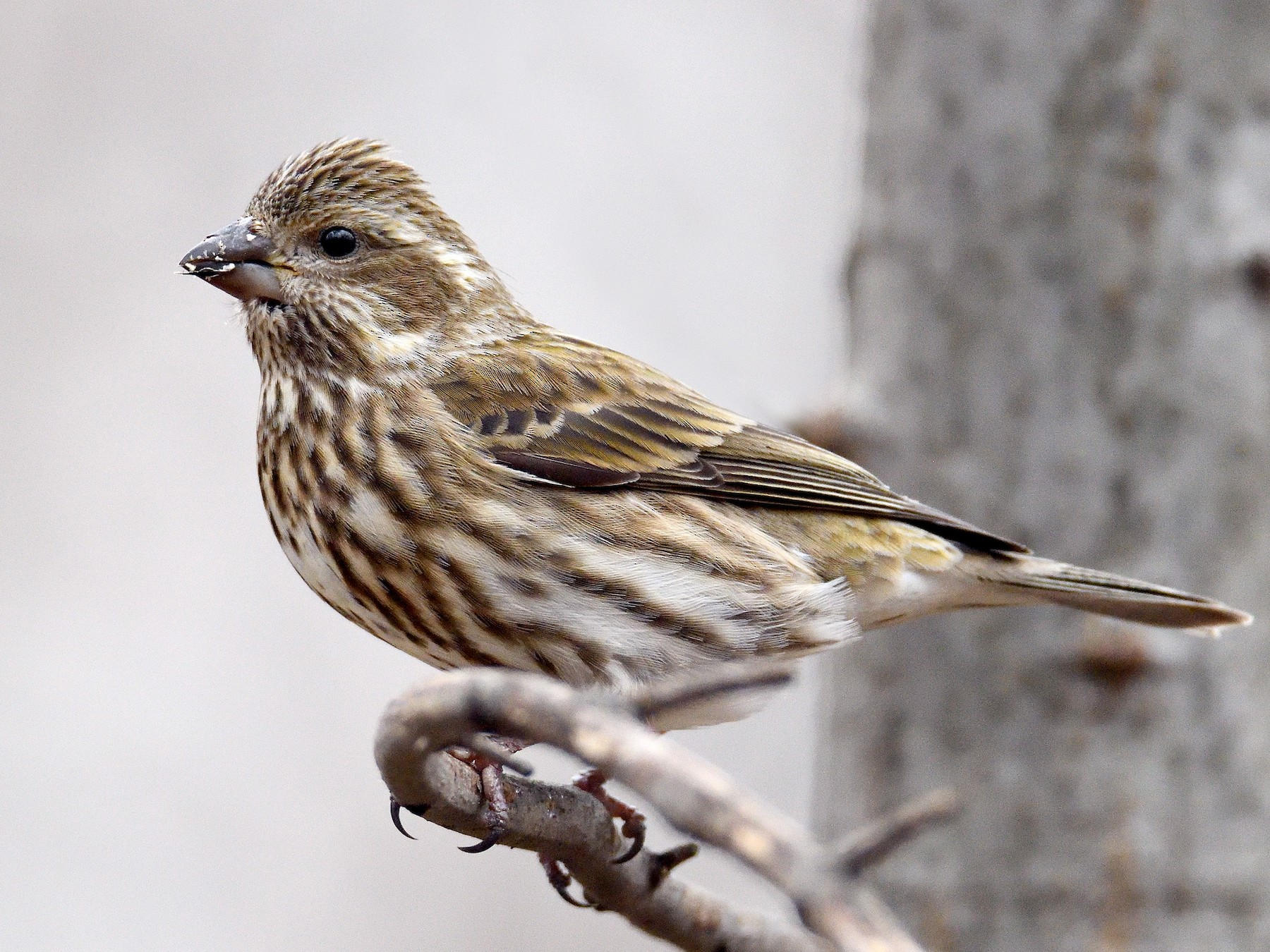 Purple Finch - terence zahner