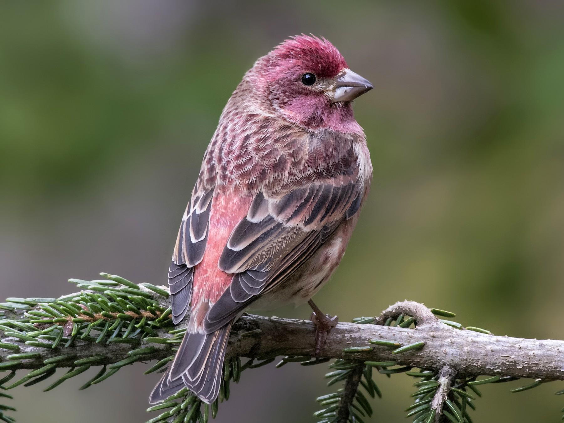 Purple Finch - Jeff Maw