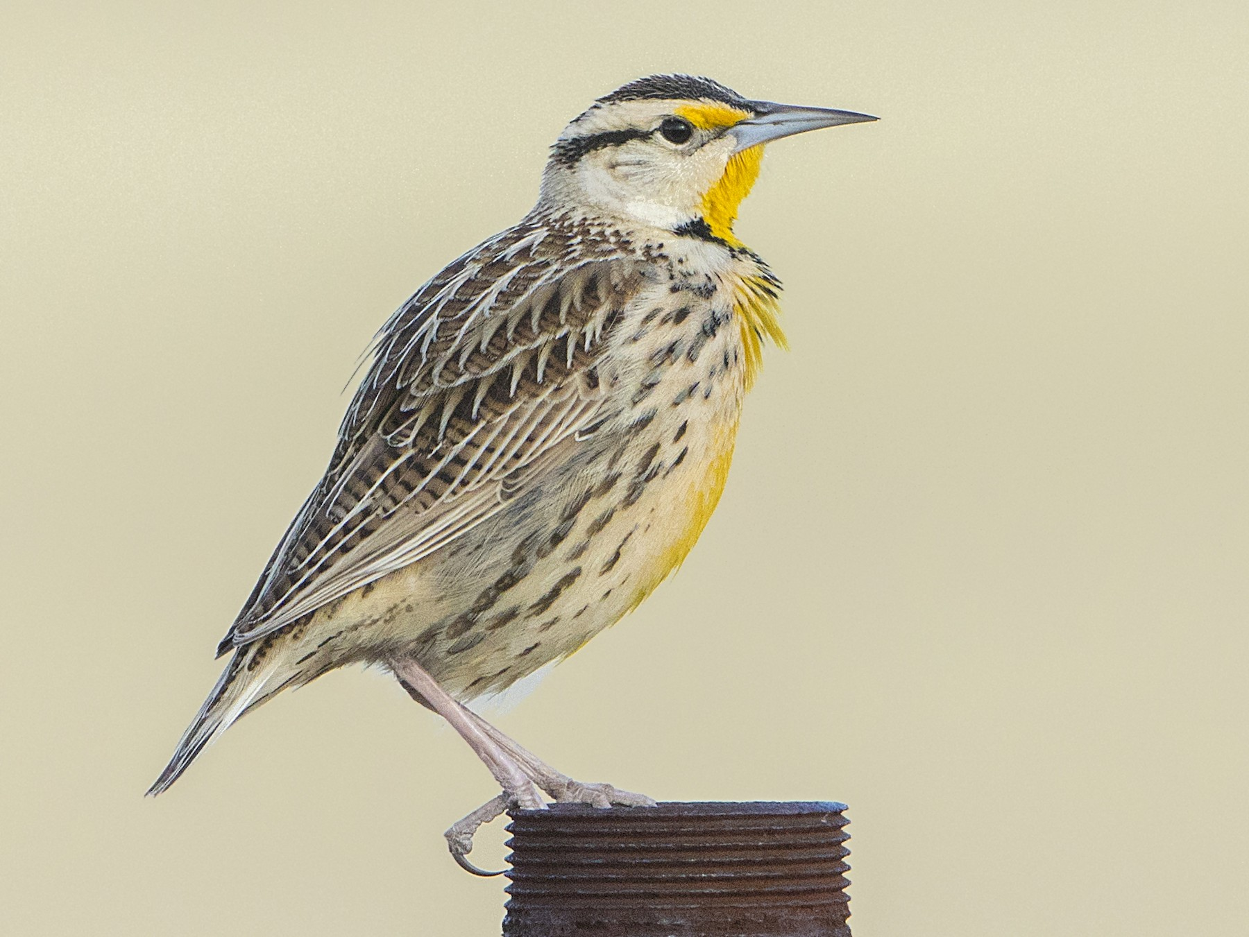 Eastern Meadowlark - Bradley Hacker