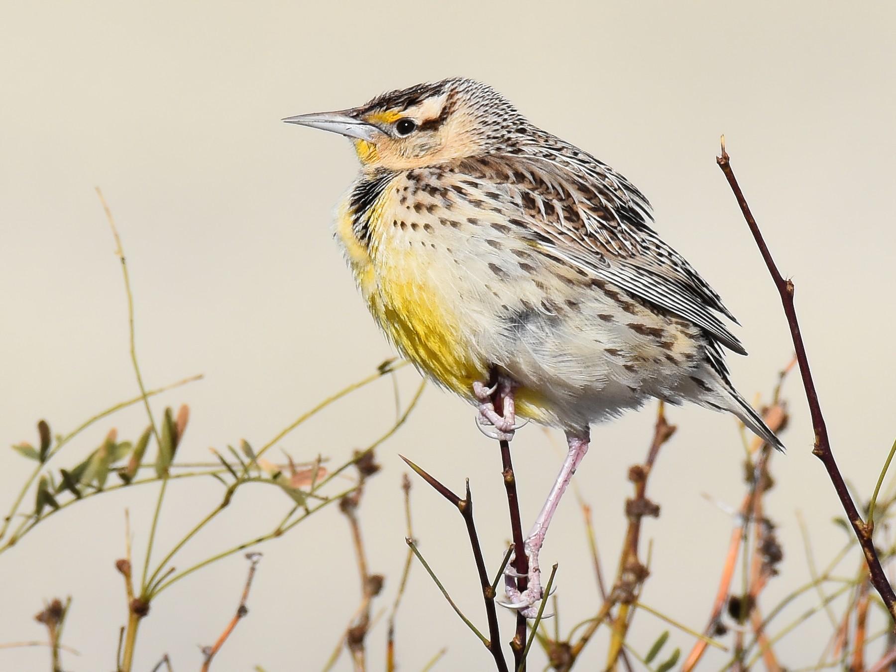 Eastern Meadowlark - Jack Parlapiano