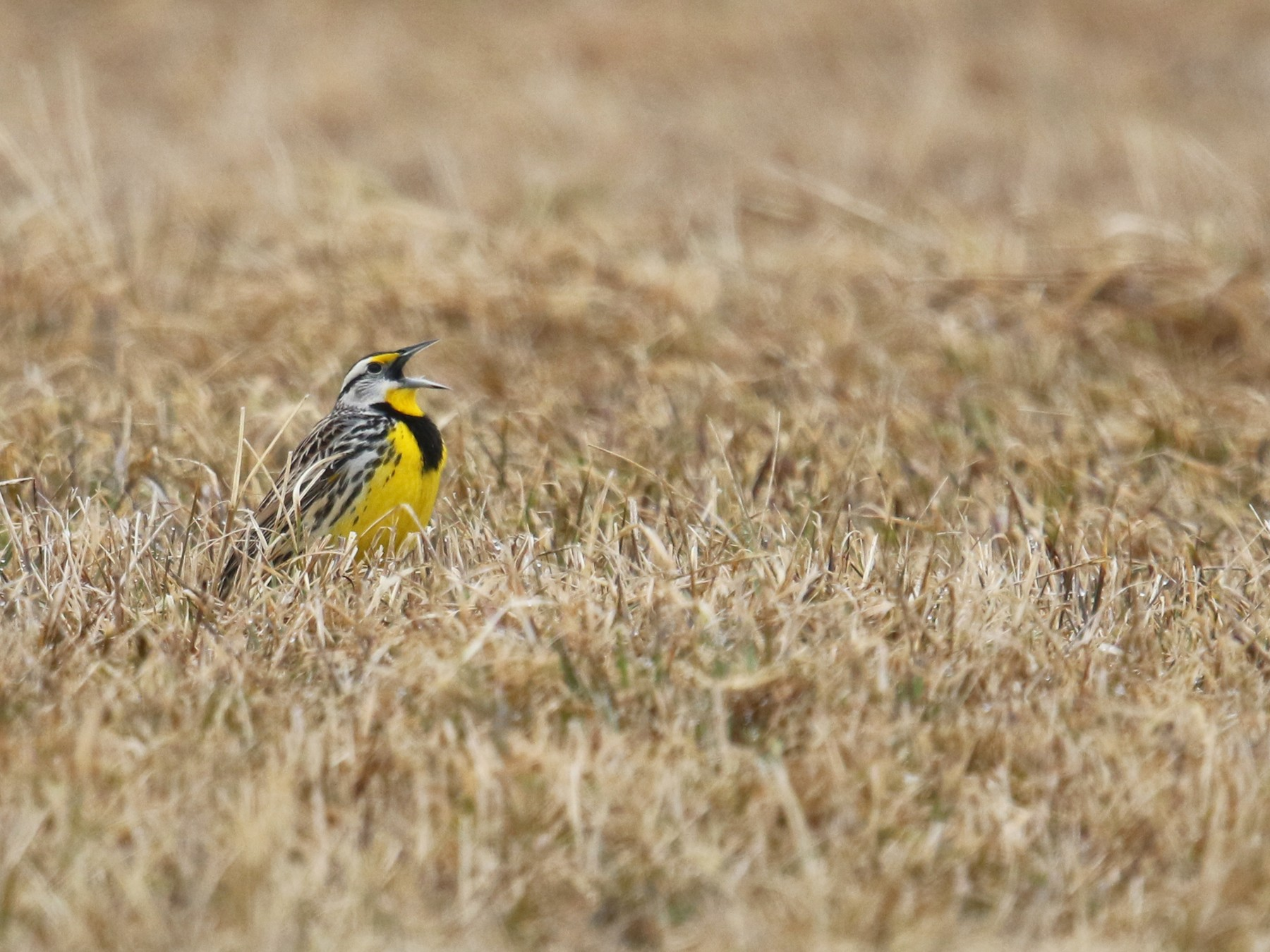 Eastern Meadowlark - Daniel Jauvin