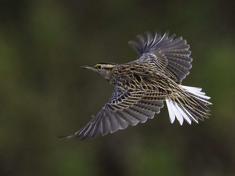 Eastern Meadowlark - Michael Stubblefield